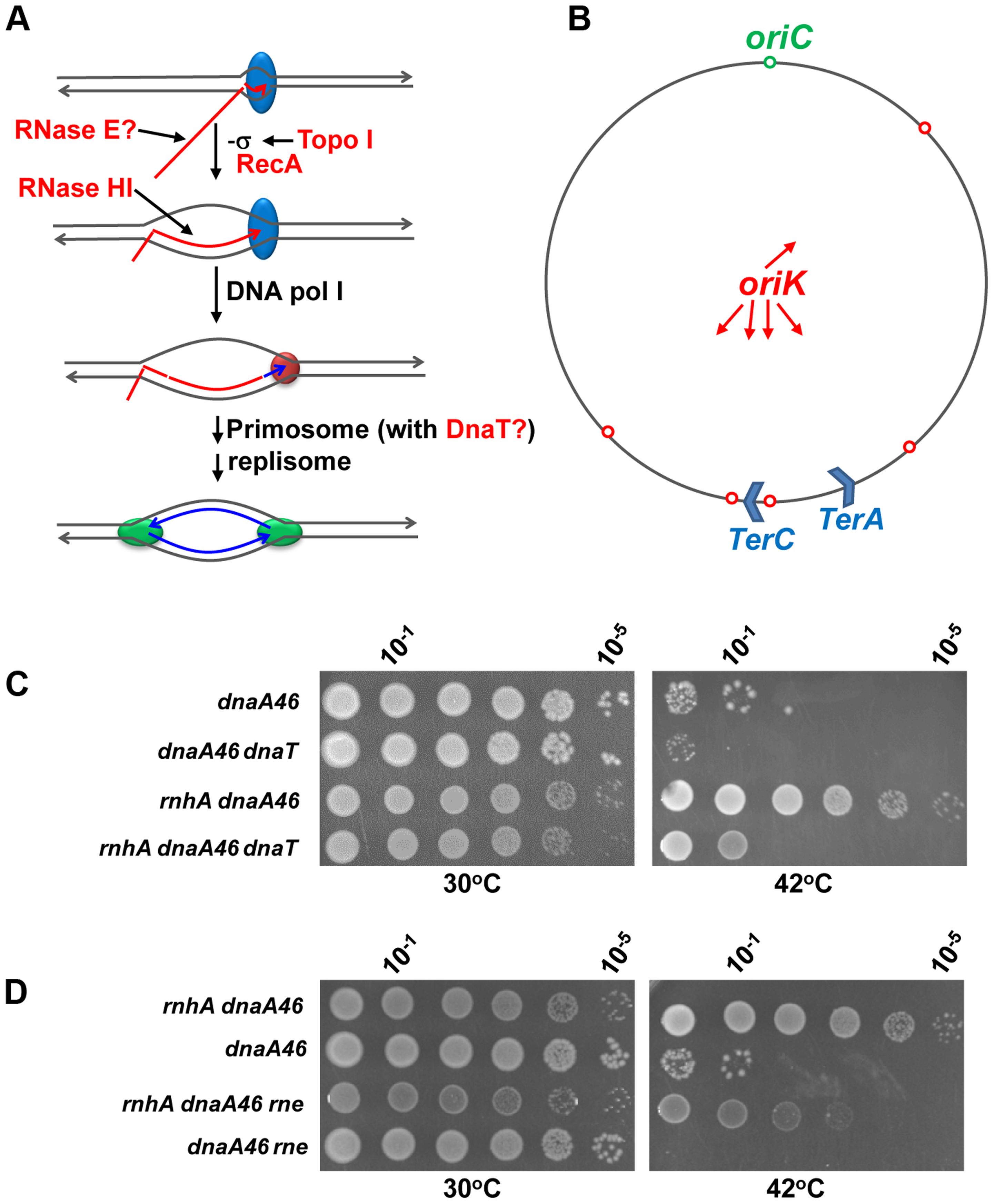 The <i>dnaT18</i>::<i>aph</i> and <i>rne59</i>::<i>aph</i> suppressor mutations inhibit cSDR in an <i>rnhA</i> strain.
