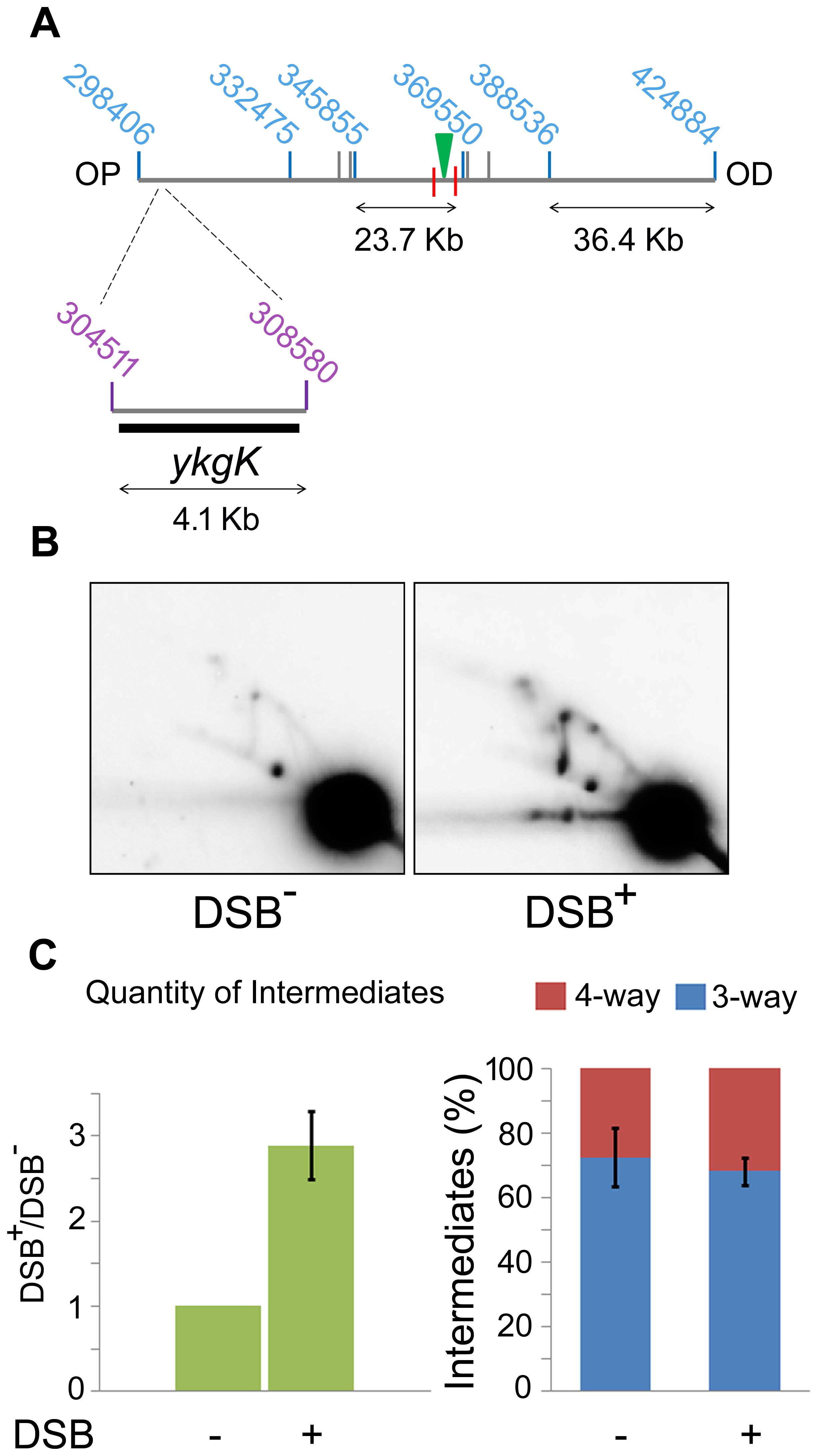 2D agarose gel electrophoresis 30 Kb upstream of the DSB.