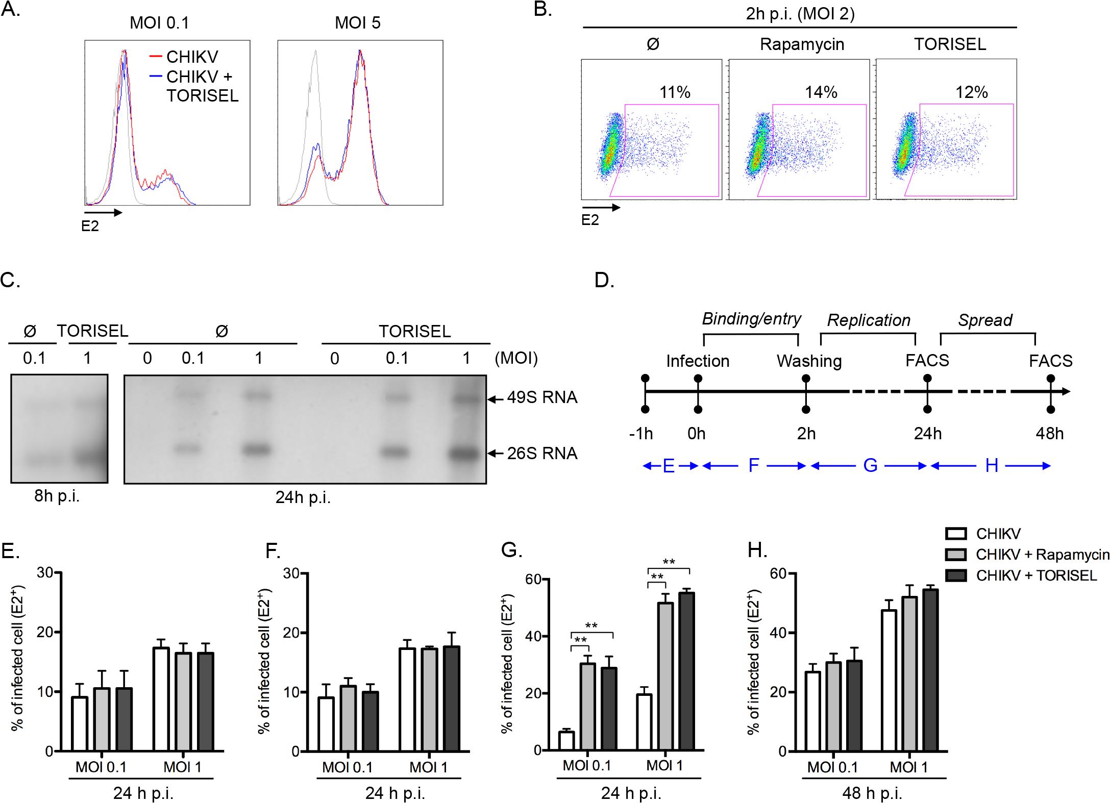 Rapalog treatment enhances viral replication.