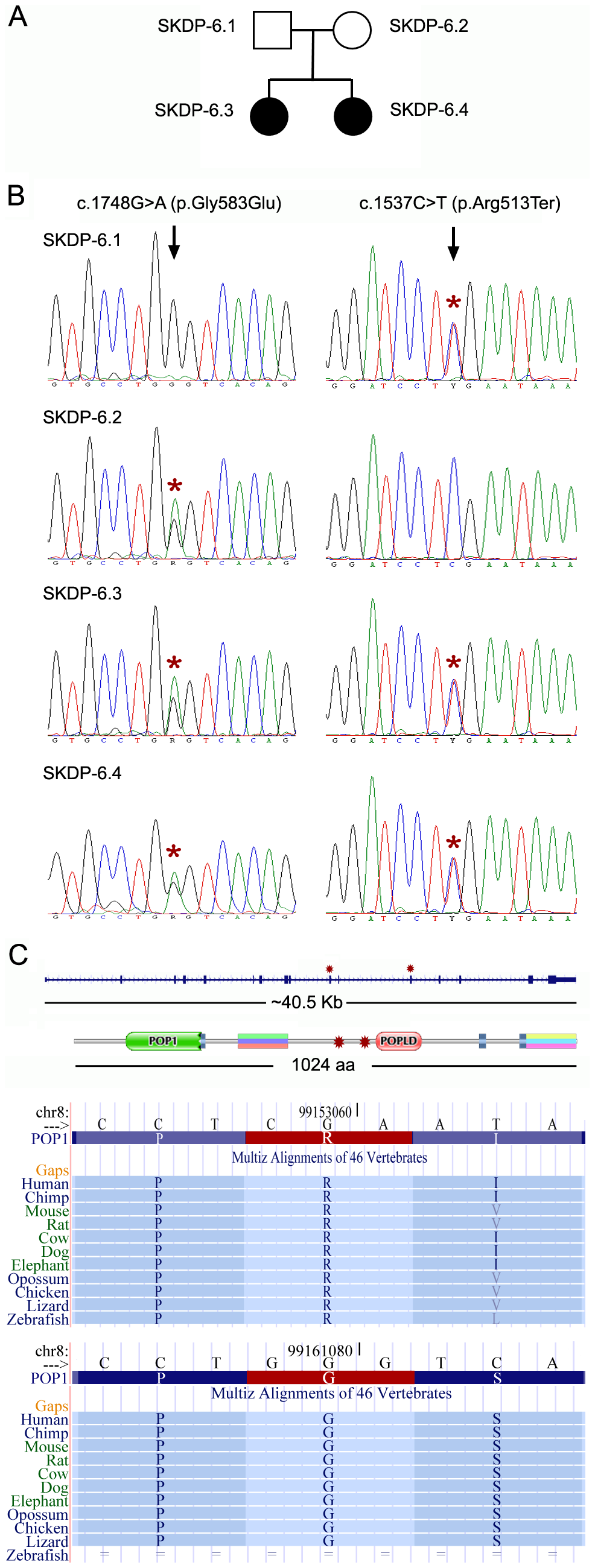 Mutations in the <i>POP1</i> gene.
