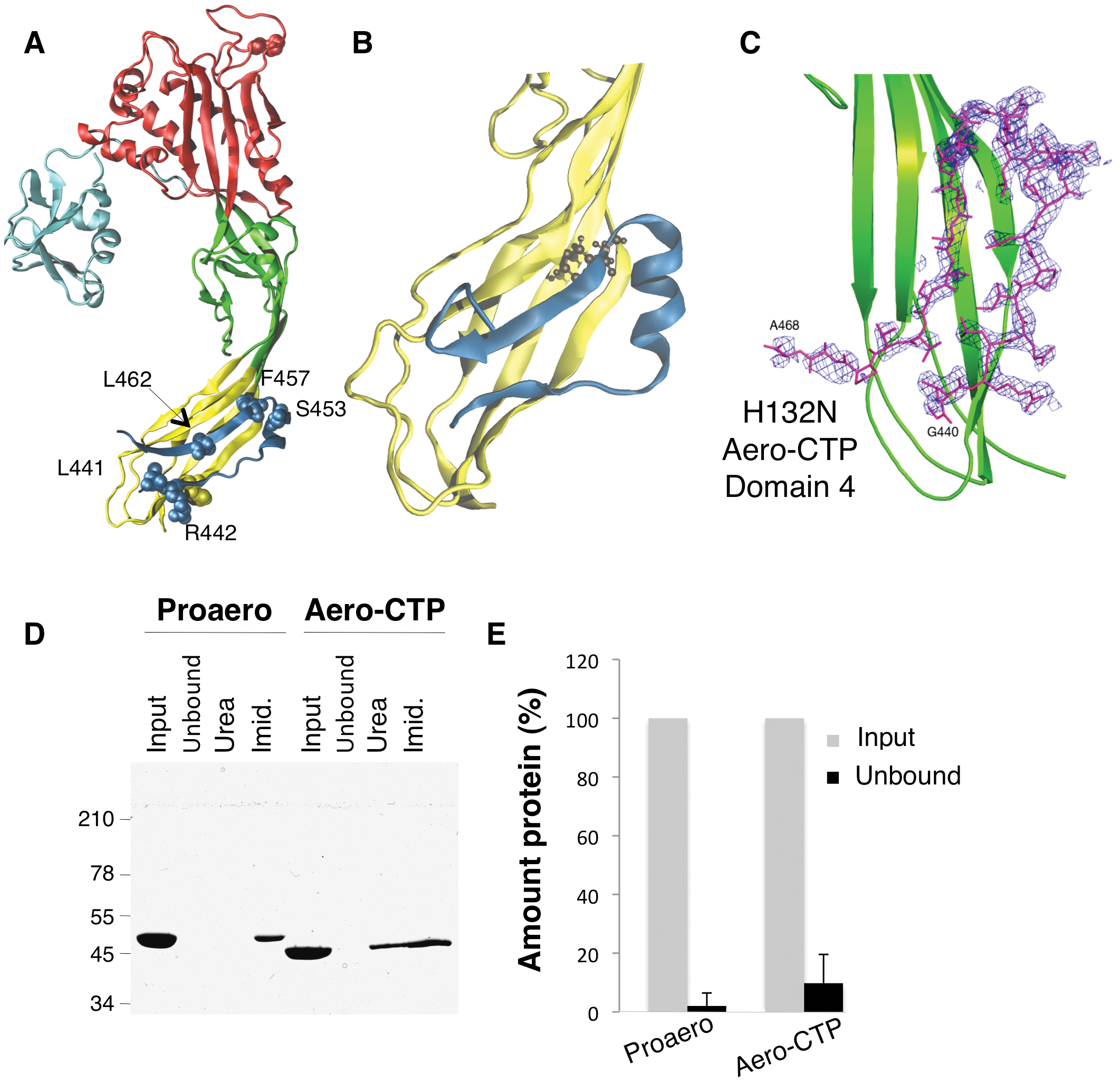 The CTP remains bound to aerolysin following trypsin cleavage.