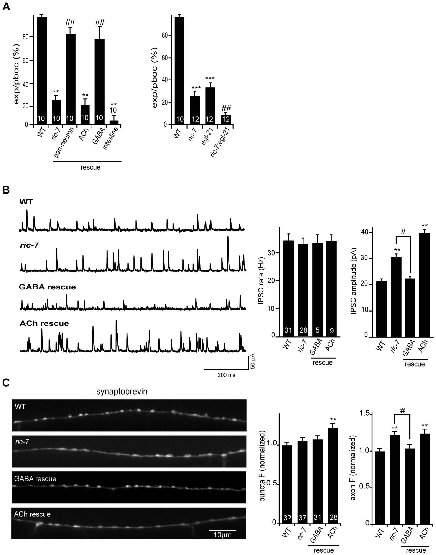 Analysis of GABA transmission in <i>ric-7</i> mutants.