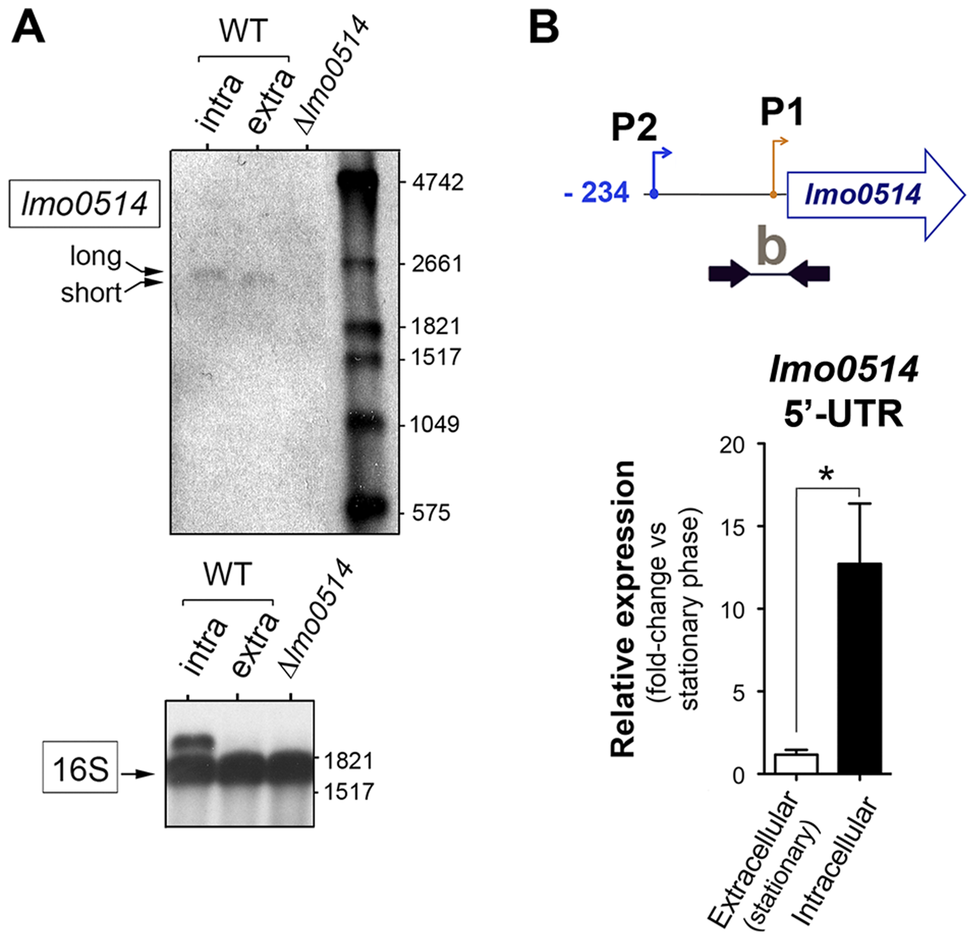 Northern blot and real-time quantitative PCR (qPCR) assays confirm the predominance of <i>lmo0514</i> transcripts of different lengths in extra- and intracellular <i>L. monocytogenes</i>.