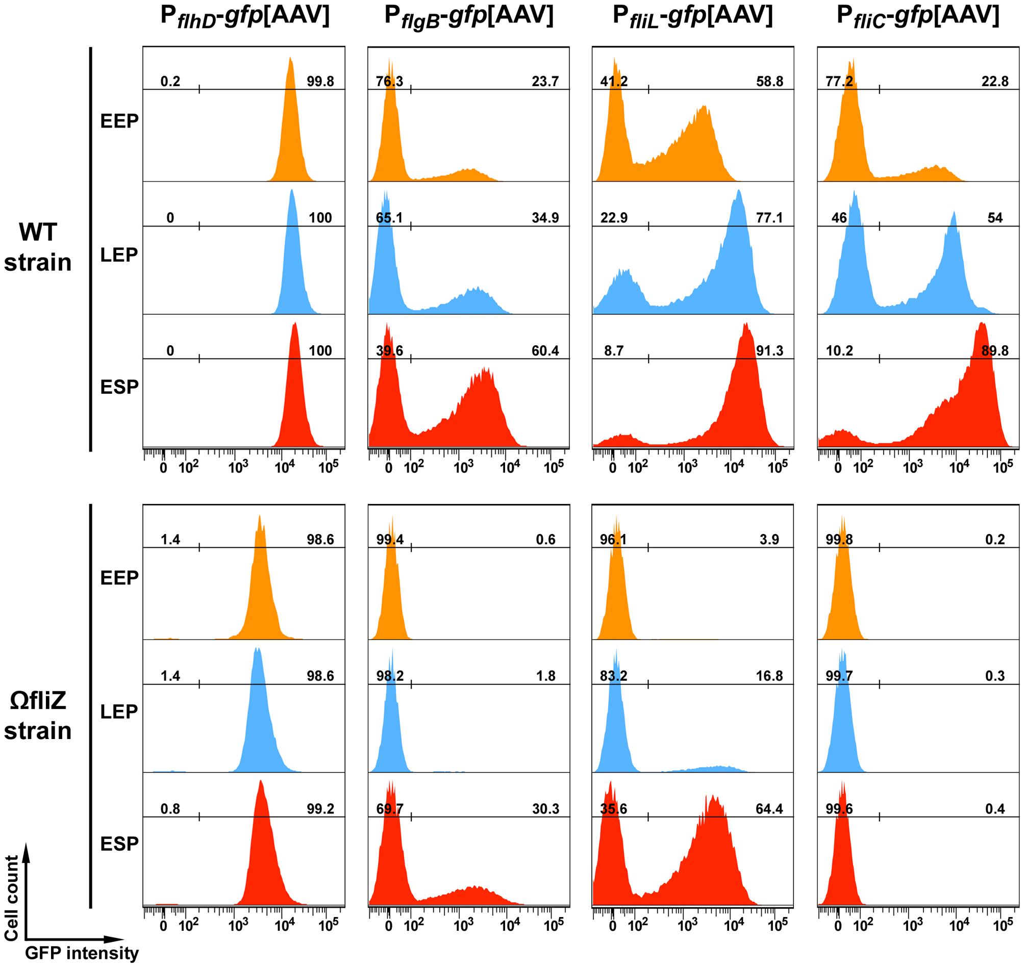 Time-course of P<i><sub>flhD</sub></i>, P<i><sub>flgB</sub></i> , P<i><sub>fliL</sub></i> and P<i><sub>fliC</sub></i> promoter activities in wild type and <i>fliZ</i> strains.
