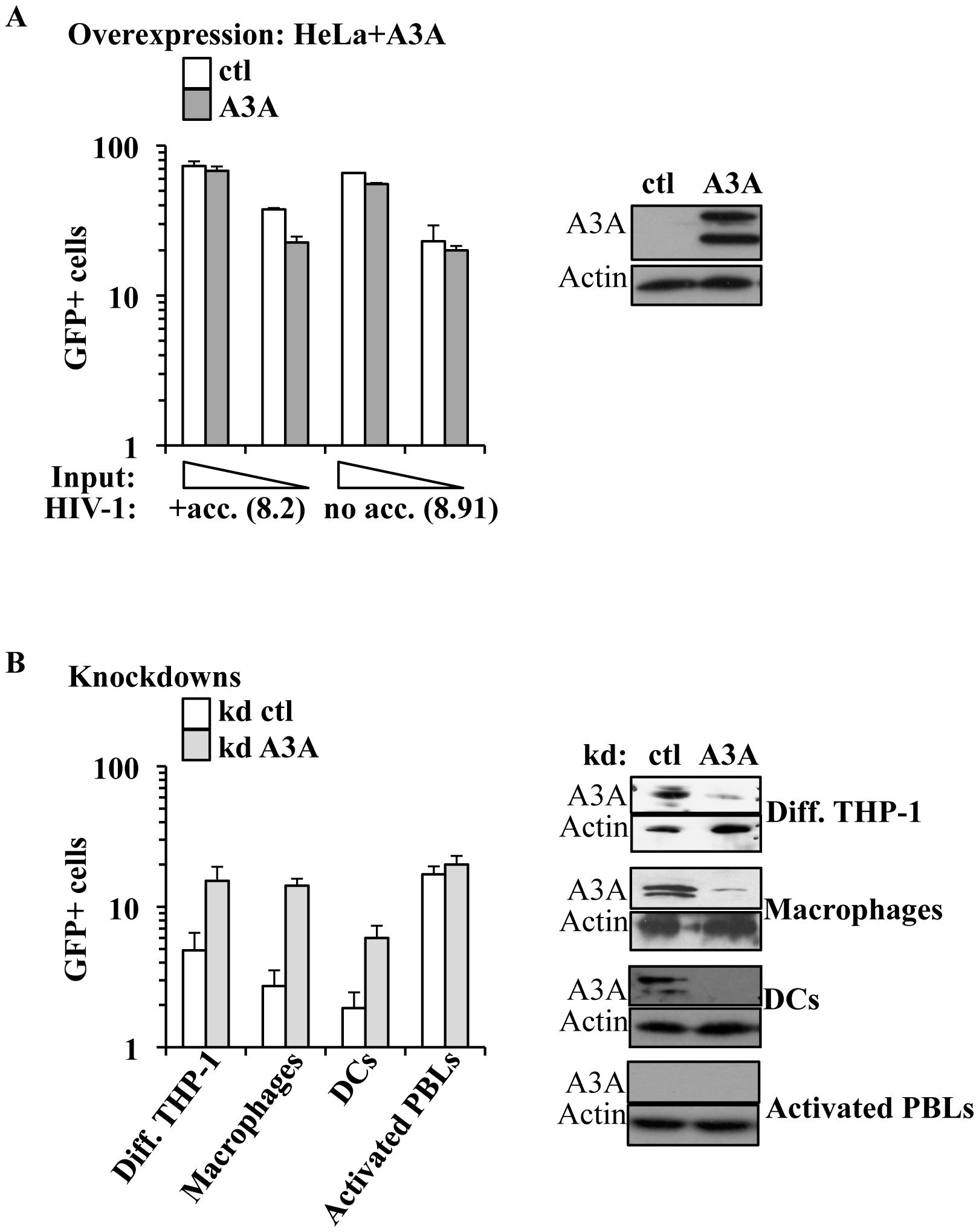 A3A inhibits the early phases of HIV-1 infection specifically in myeloid cells.