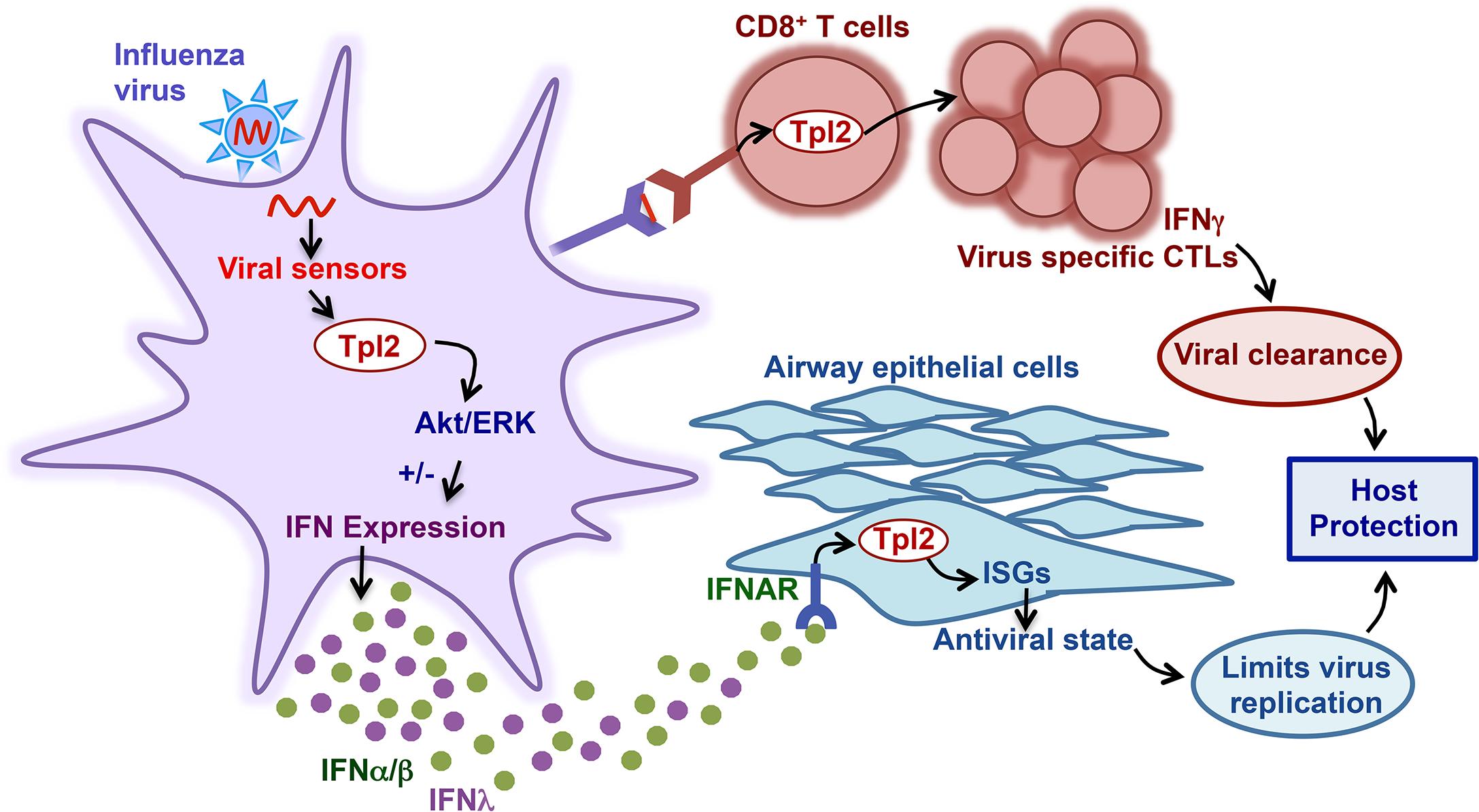 Model of Tpl2 regulation of antiviral immune responses.