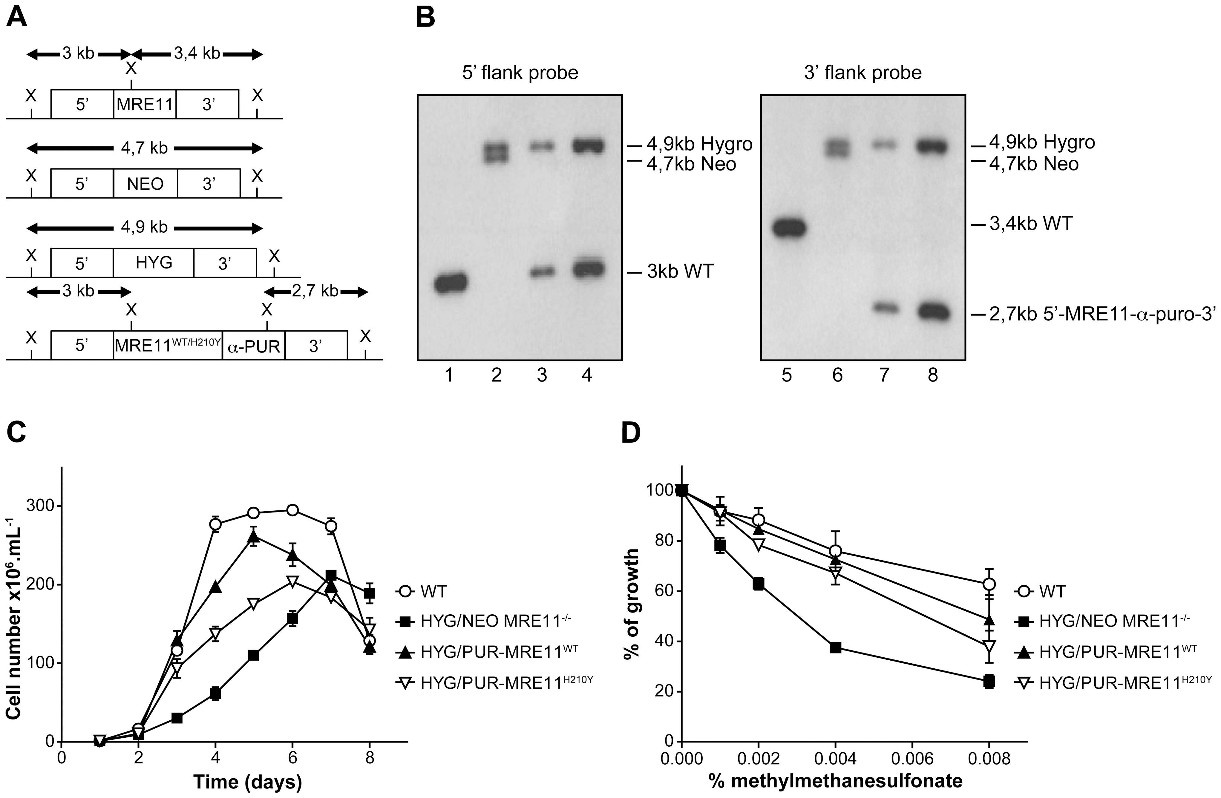 <i>MRE11</i> gene inactivation in <i>L. infantum</i> and phenotypic analysis.
