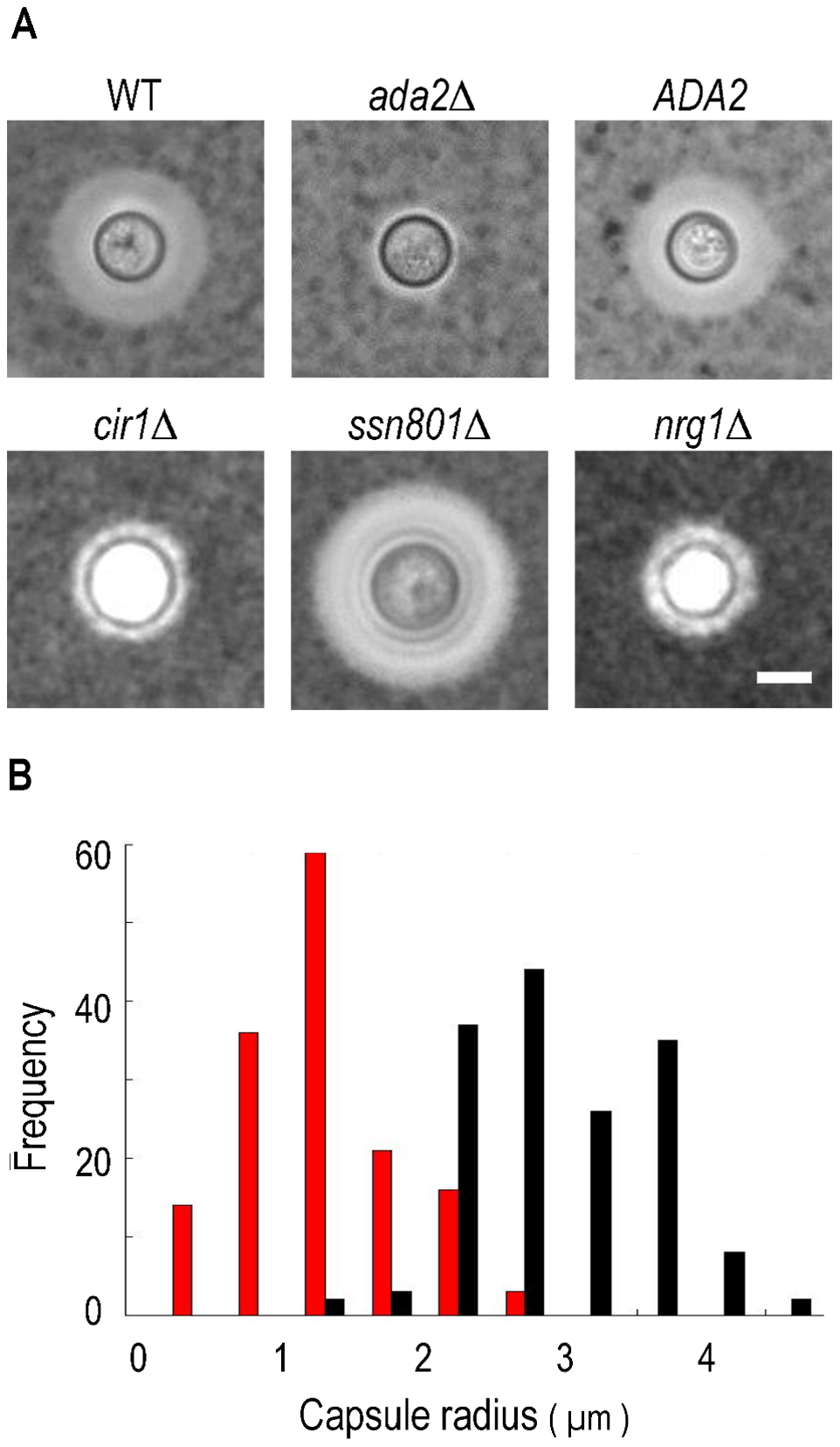 Cells lacking <i>ADA2</i> display reduced capsule size under inducing conditions.