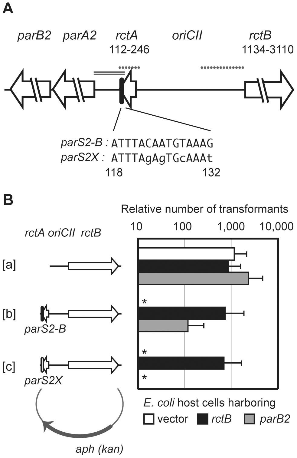 Interactions between RctB, <i>rctA</i>, ParB2 and <i>parS2</i> control <i>oriCII</i>-based replication.