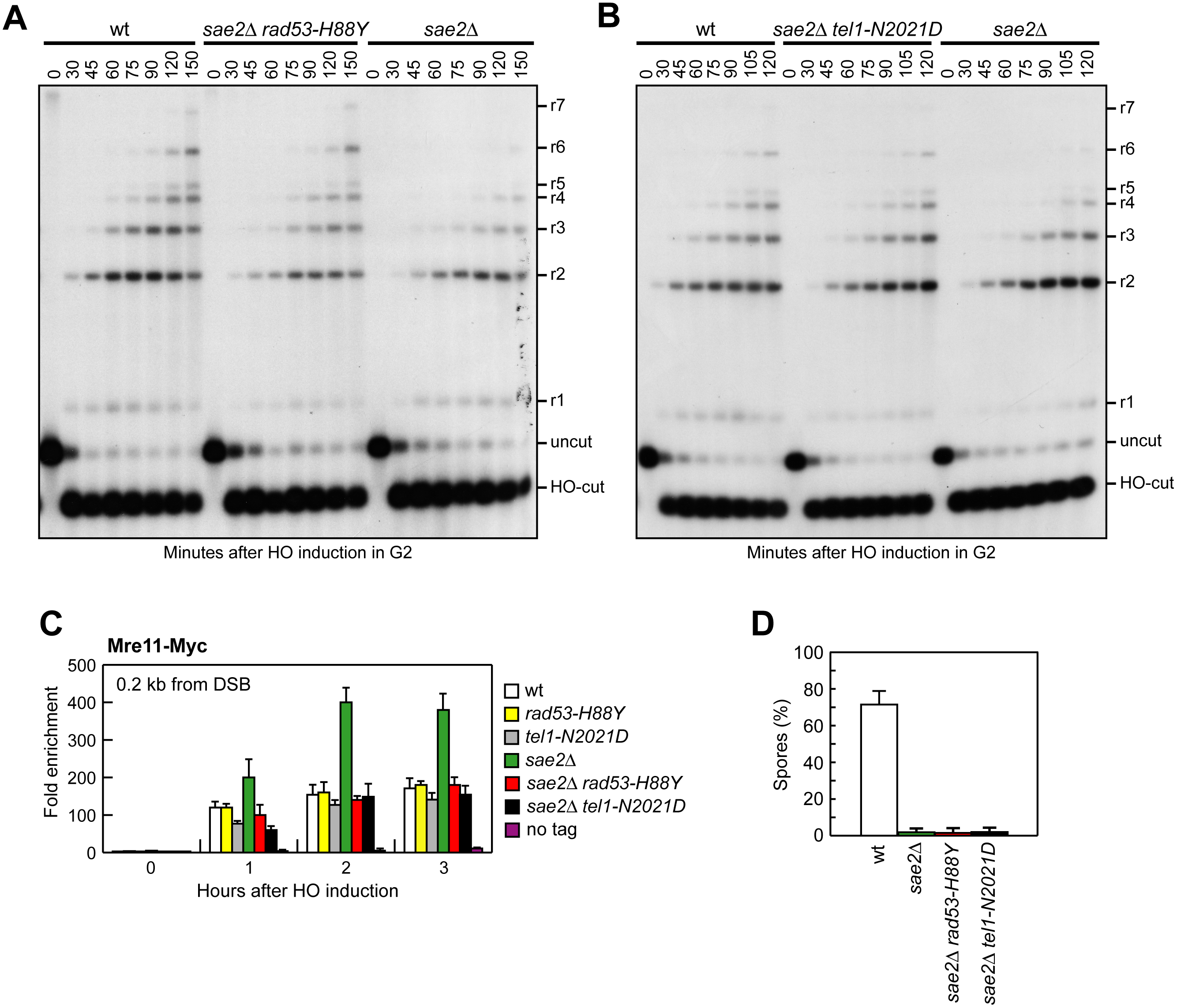 Rad53-H88Y and Tel1-N2021D suppress the resection defect of <i>sae2</i>Δ cells.
