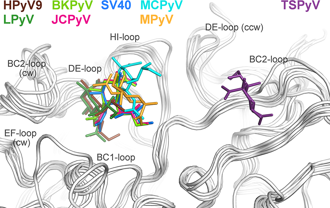 Unique location of the TSPyV Neu5Ac binding site.