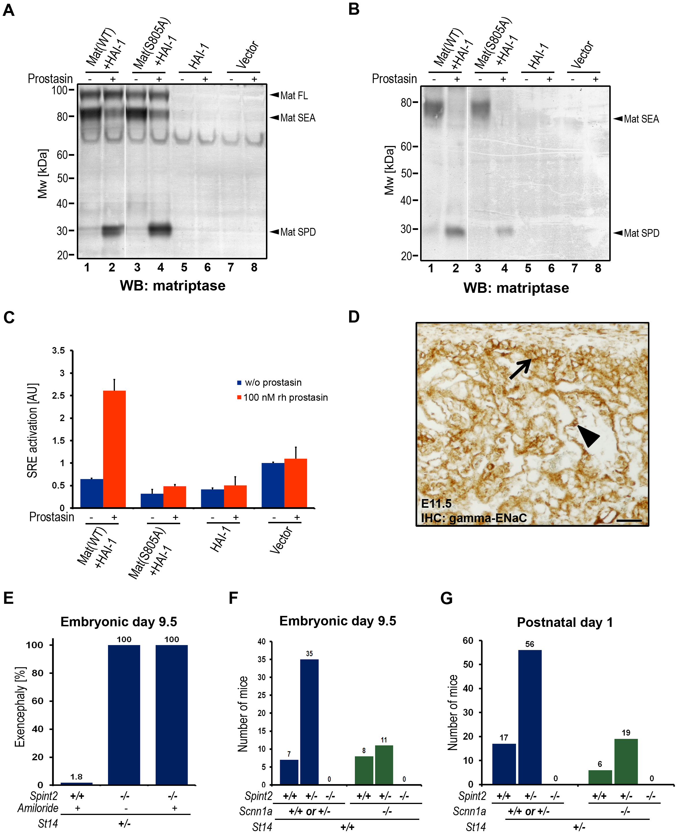 Prostasin activates matriptase on the surface of HEK293 cells.