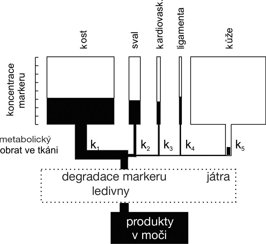 Schéma koncentrace biochemických markerů v oběhu v závislosti na jejich tvorbě v jednotlivých typech tkání a na clearance markerů (upraveno dle Robins, S. P. Bone Markers. Martin Dunitz, London, 2001, s. 51)
