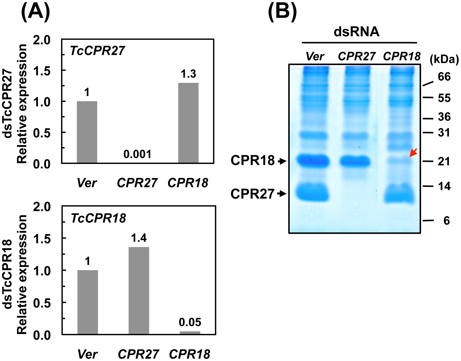 Knockdown of <i>TcCPR27</i> and <i>TcCPR18</i> transcripts by RNAi.