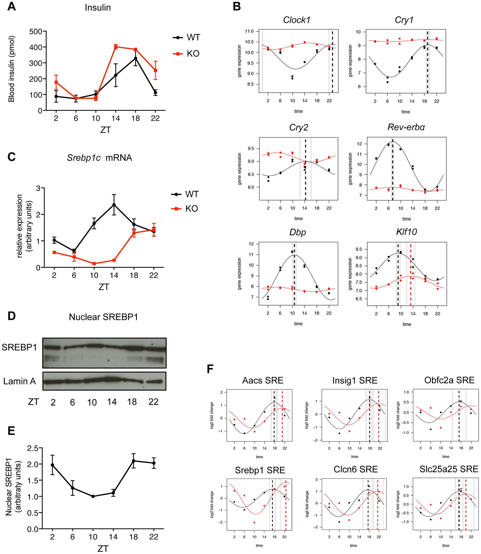 SREBP1 binding is rhythmic in <i>Bmal1<sup>−/−</sup></i> upon time-restricted feeding.