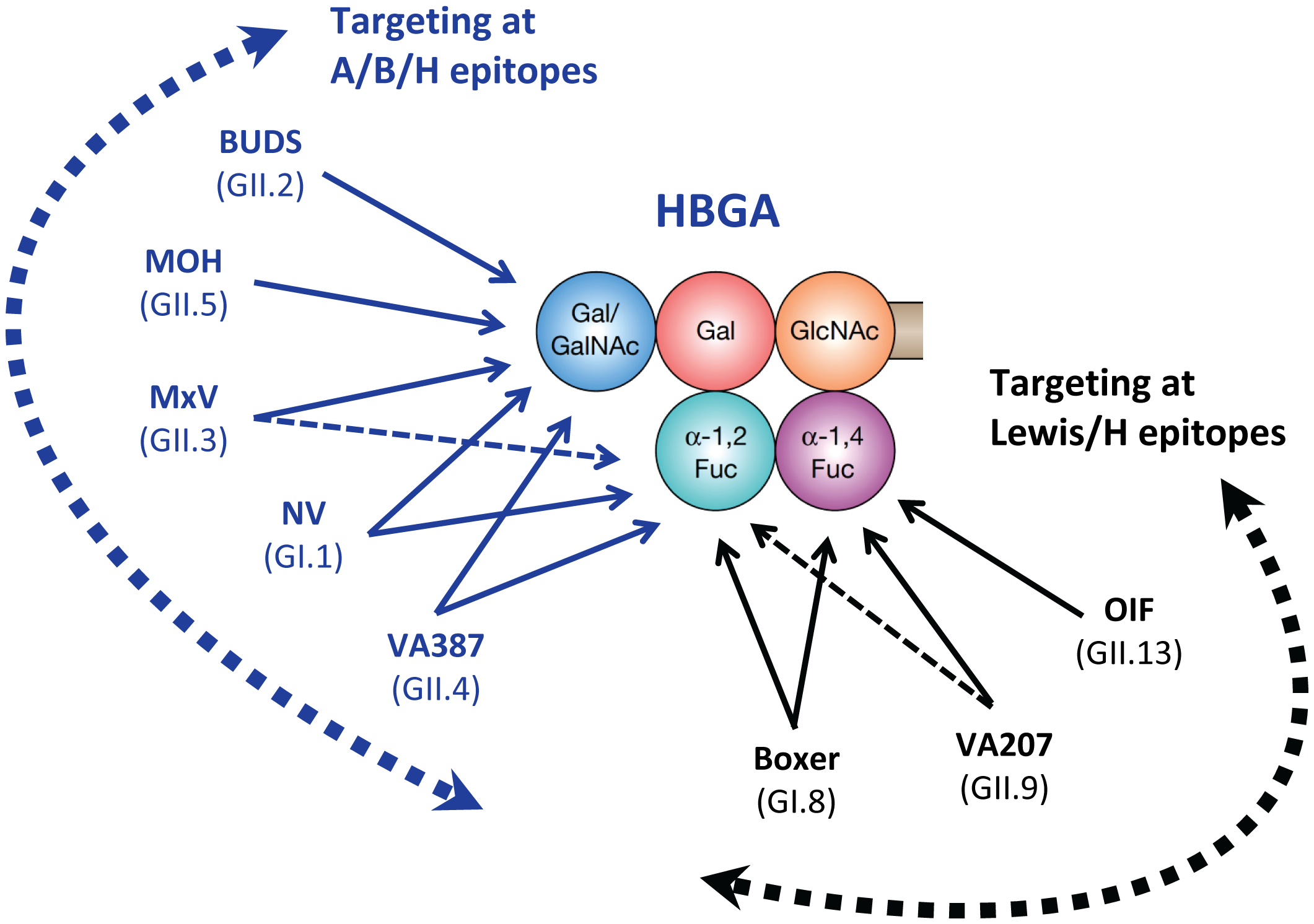 Schematic interactions and relationships among different human noroviruses with a complete product of human HBGA.