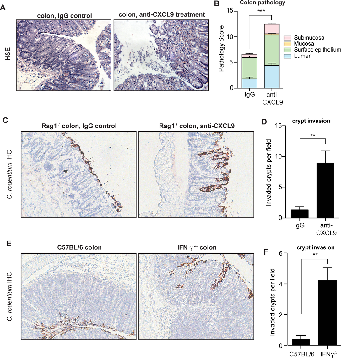 Mice depleted of CXCL9 have greater <i>C</i>. rodentium-induced pathology.