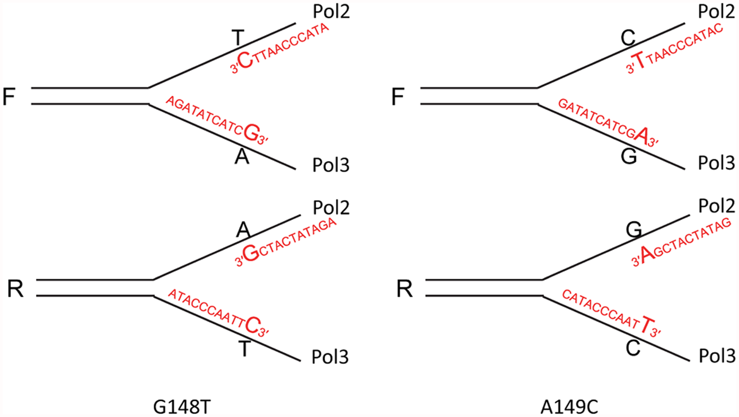 Reversion of <i>trp5</i>-G148T and <i>trp5</i>-A149C strains with oligos creating a 3′ mismatch.