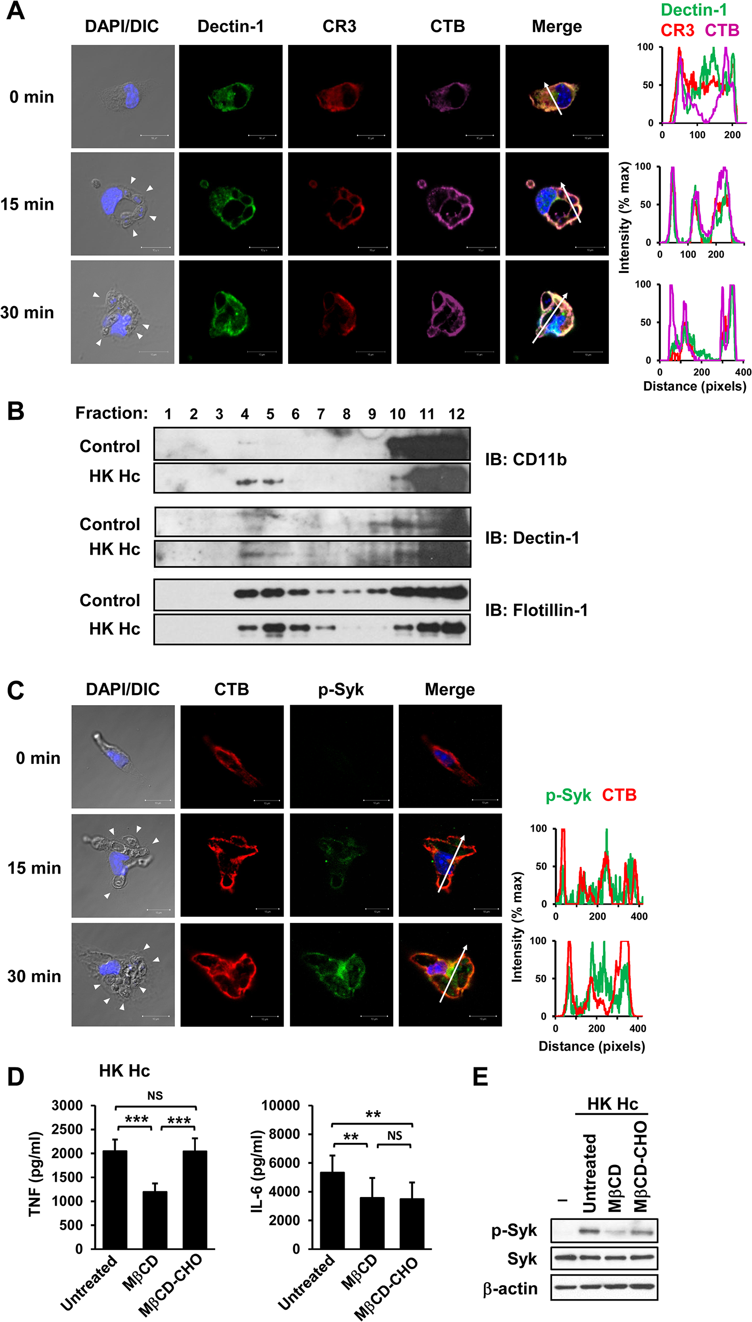 Clustering of CR3 and Dectin-1 on lipid rafts is required for their collaboration in cytokine production and signaling activation.