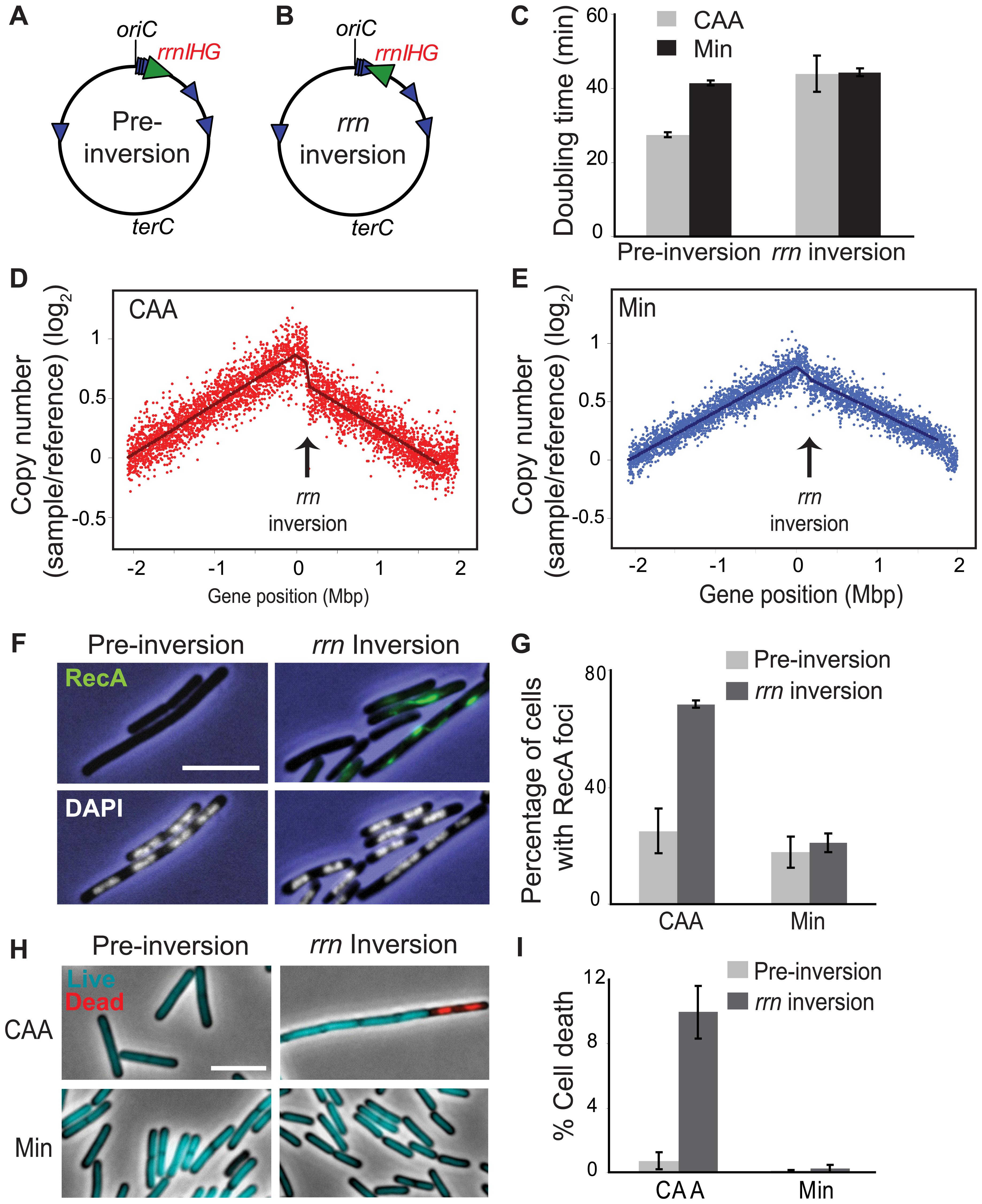 Inversion of <i>rrnIHG</i> impedes replication, triggers RecA recruitment, and elevates cell death.