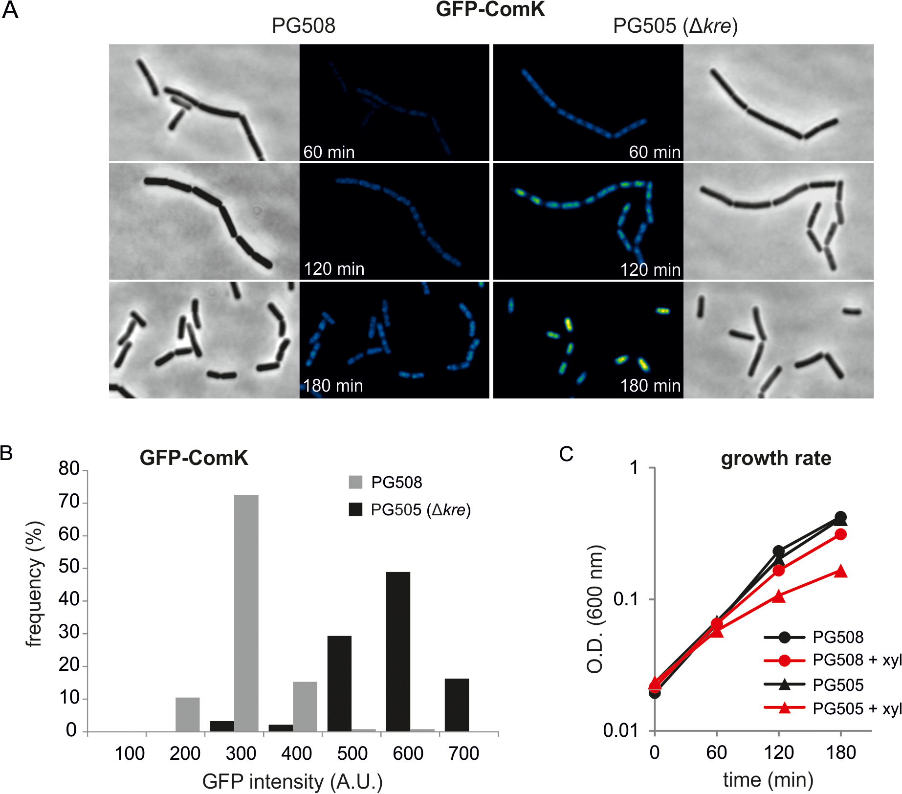 Absence of Kre increases xylose induced GFP-ComK expression.