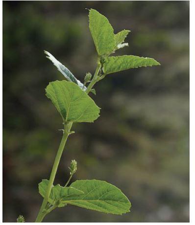 Fabaceae (Psoralea coryliforia)