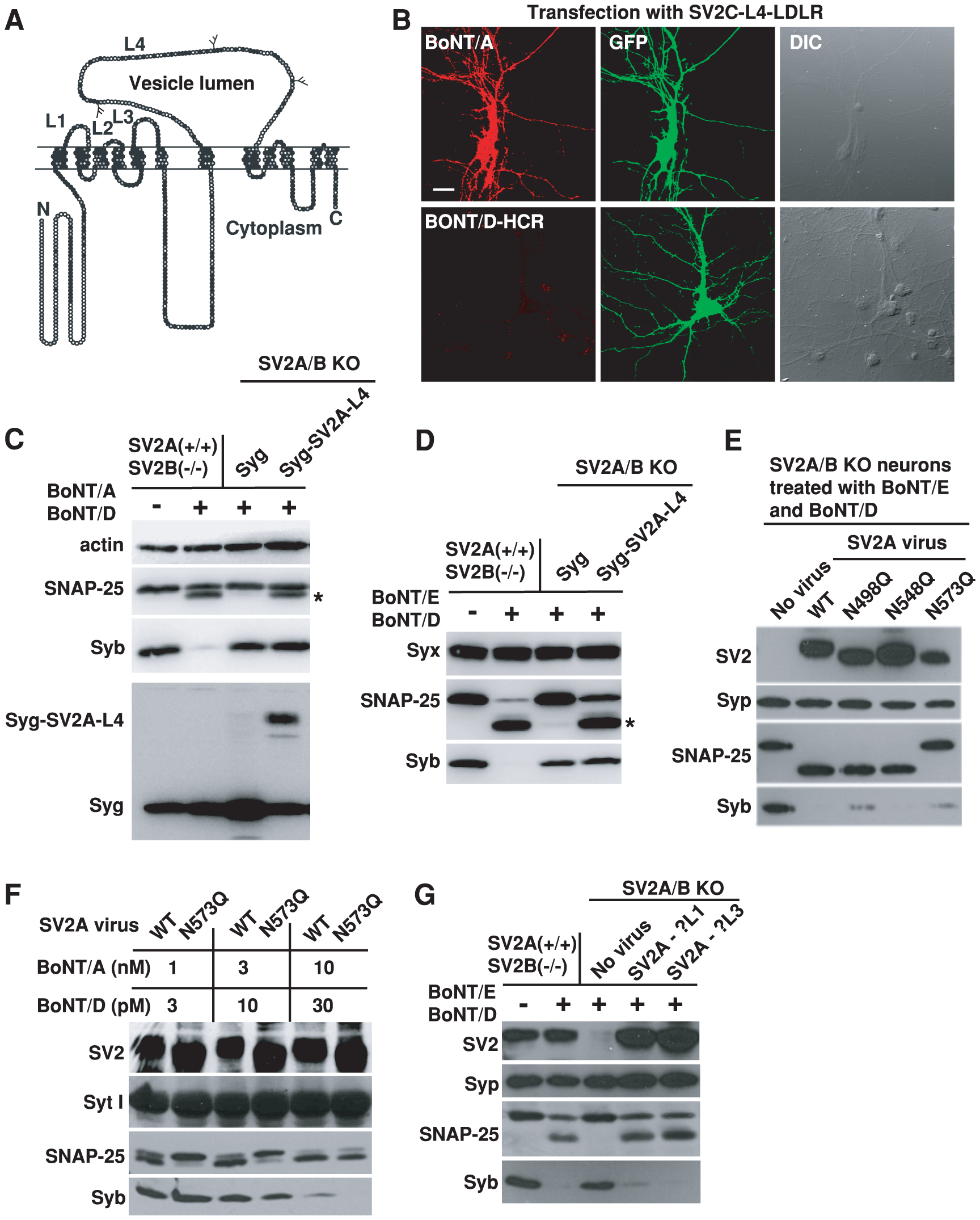 BoNT/D utilizes a SV2-binding mechanism distinct from BoNT/A and E.