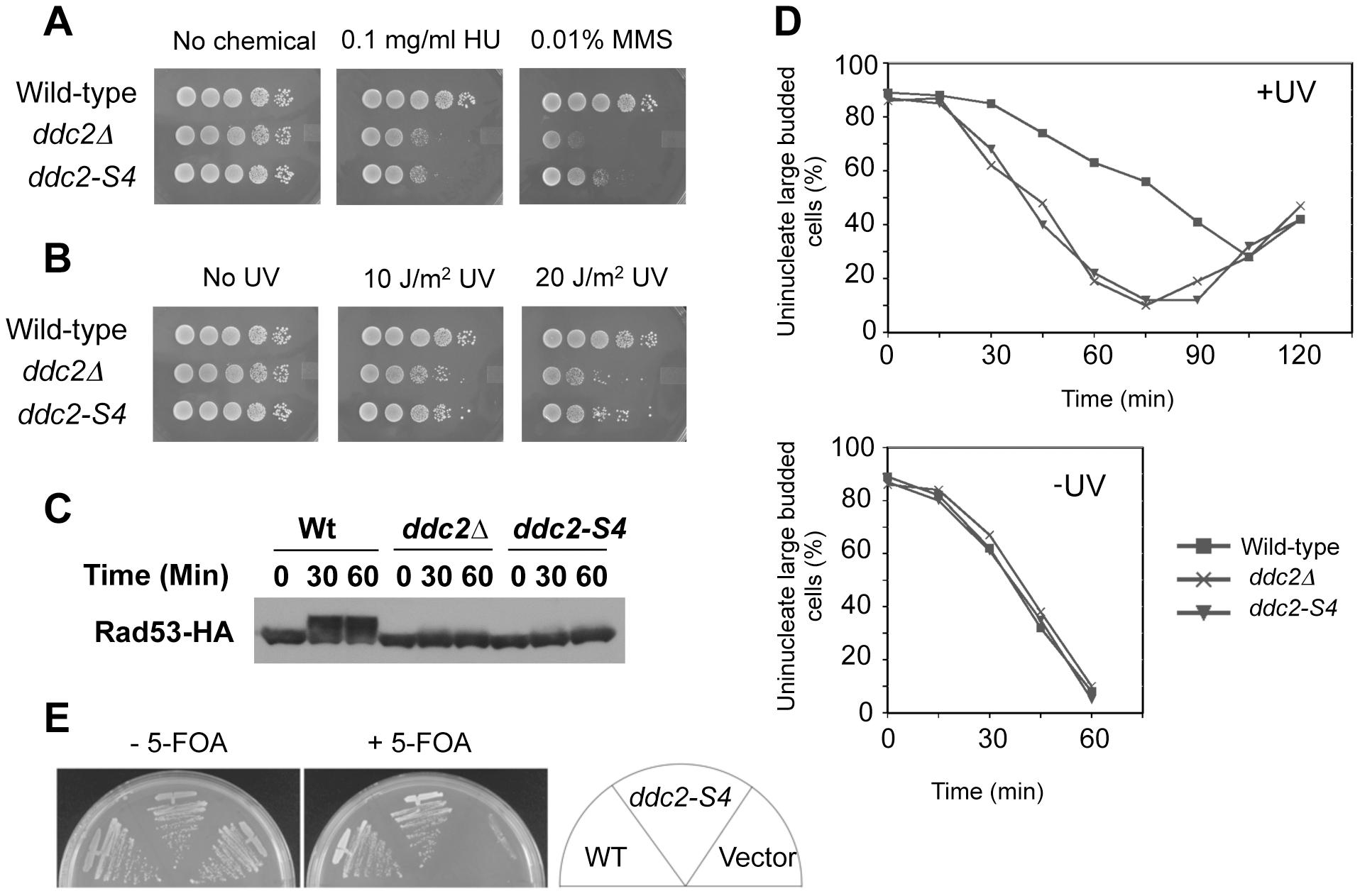 DNA damage response and proliferation of <i>ddc2-S4</i> mutants.