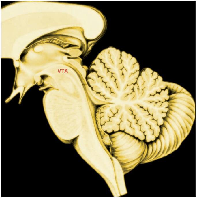 VTA poloha area tegmentalis ventralis VTA obsahuje dopaminergní neurony promítající do striata a prefrontální kůry. Jejich činnost je podkladem učení subjektivní hodnoty včetně vývoje závislosti na drogách