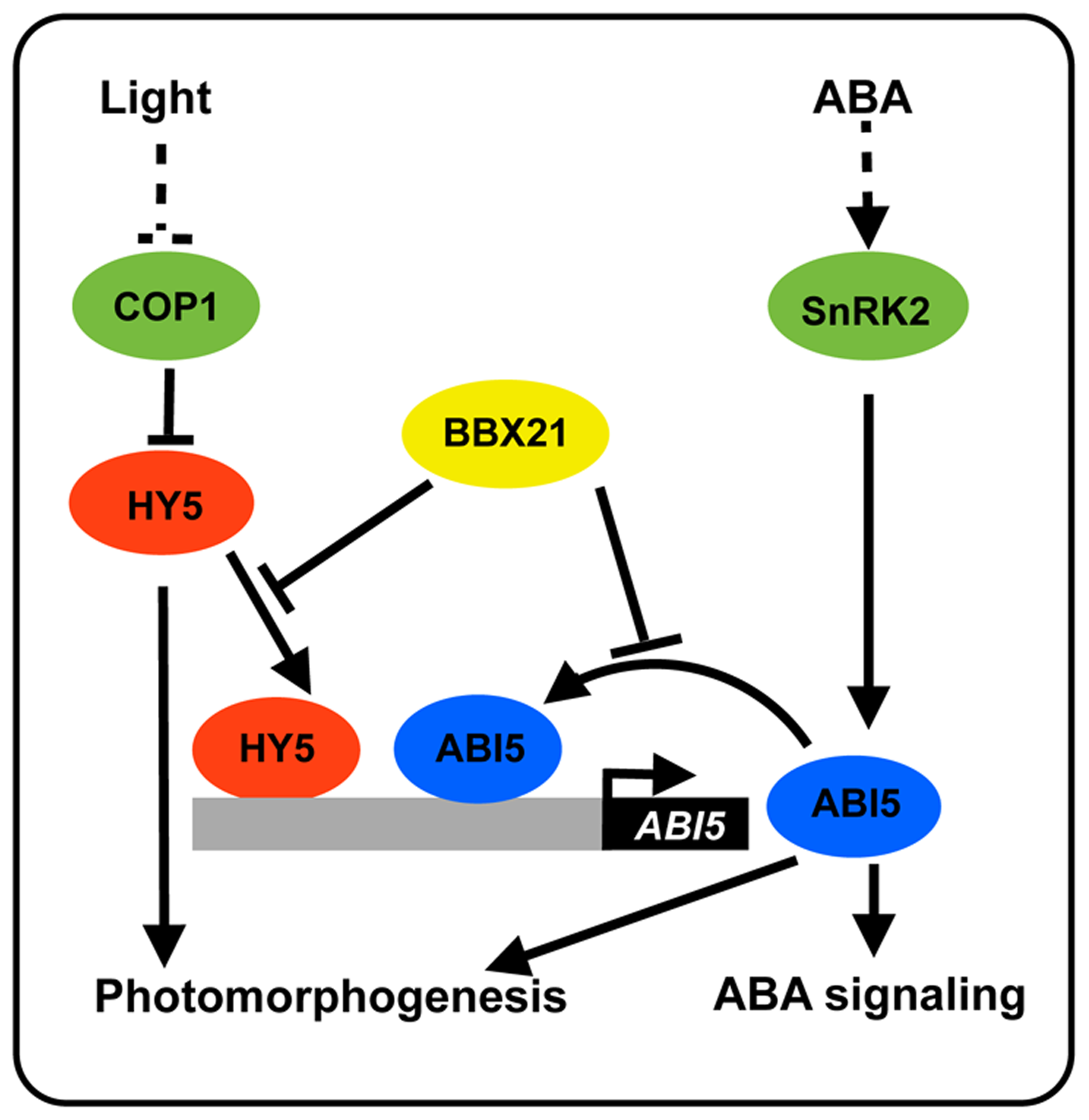 A working model depicting how BBX21 works in concert with HY5 and ABI5 on the <i>ABI5</i> promoter to integrate light and ABA signaling.
