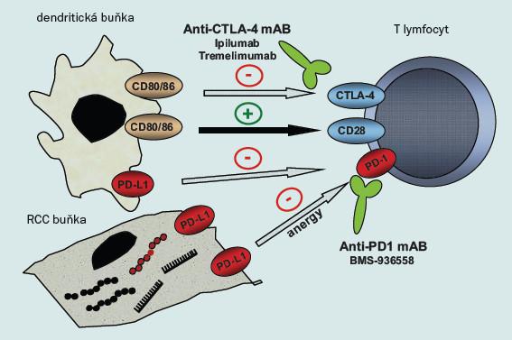 Schéma 3. Imunitní kontrolní mechanizmy u RCC.