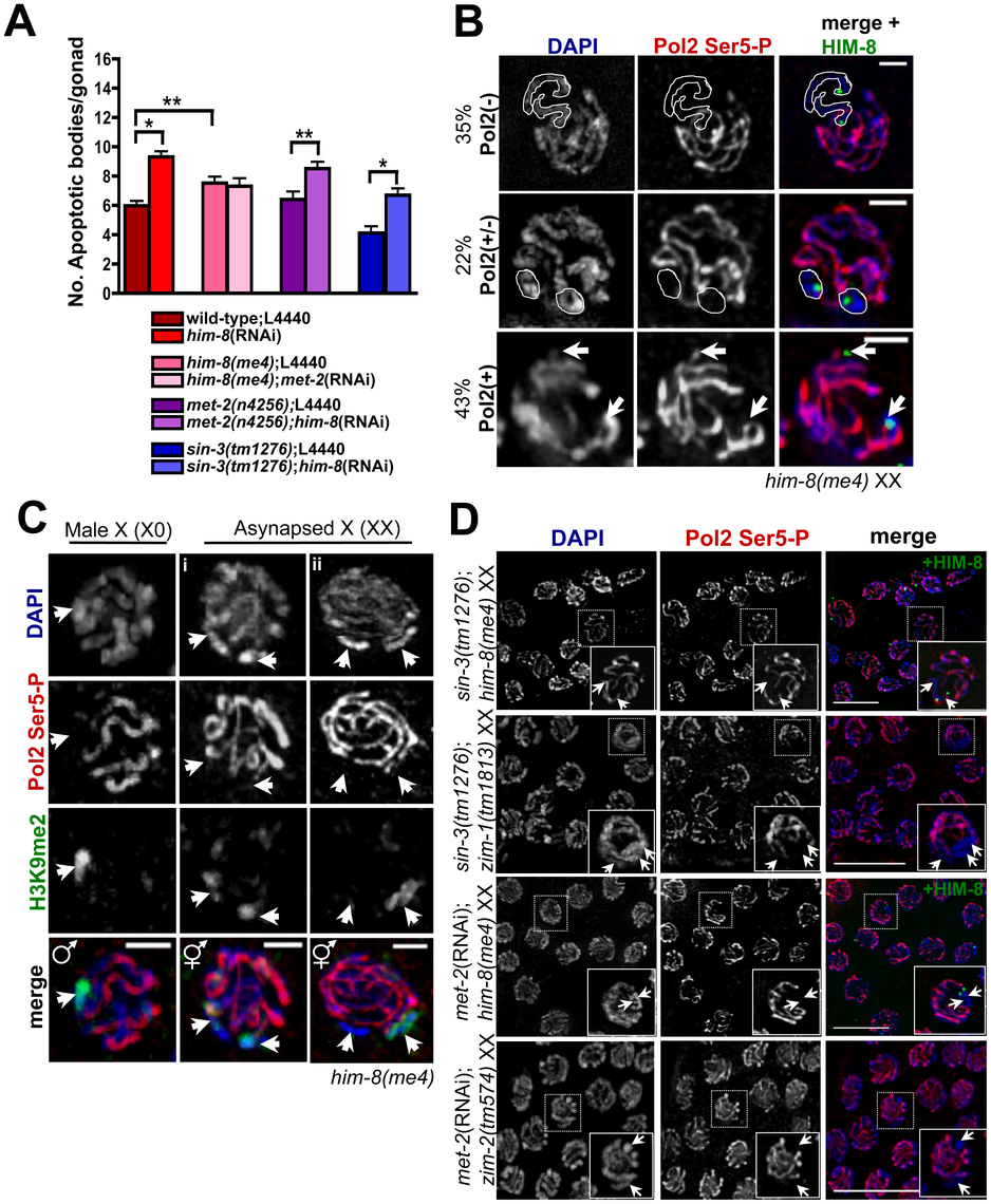 Germline apoptosis and Pol2 activation are not inhibited by H3K9me2 on asynapsed chromosome pairs.