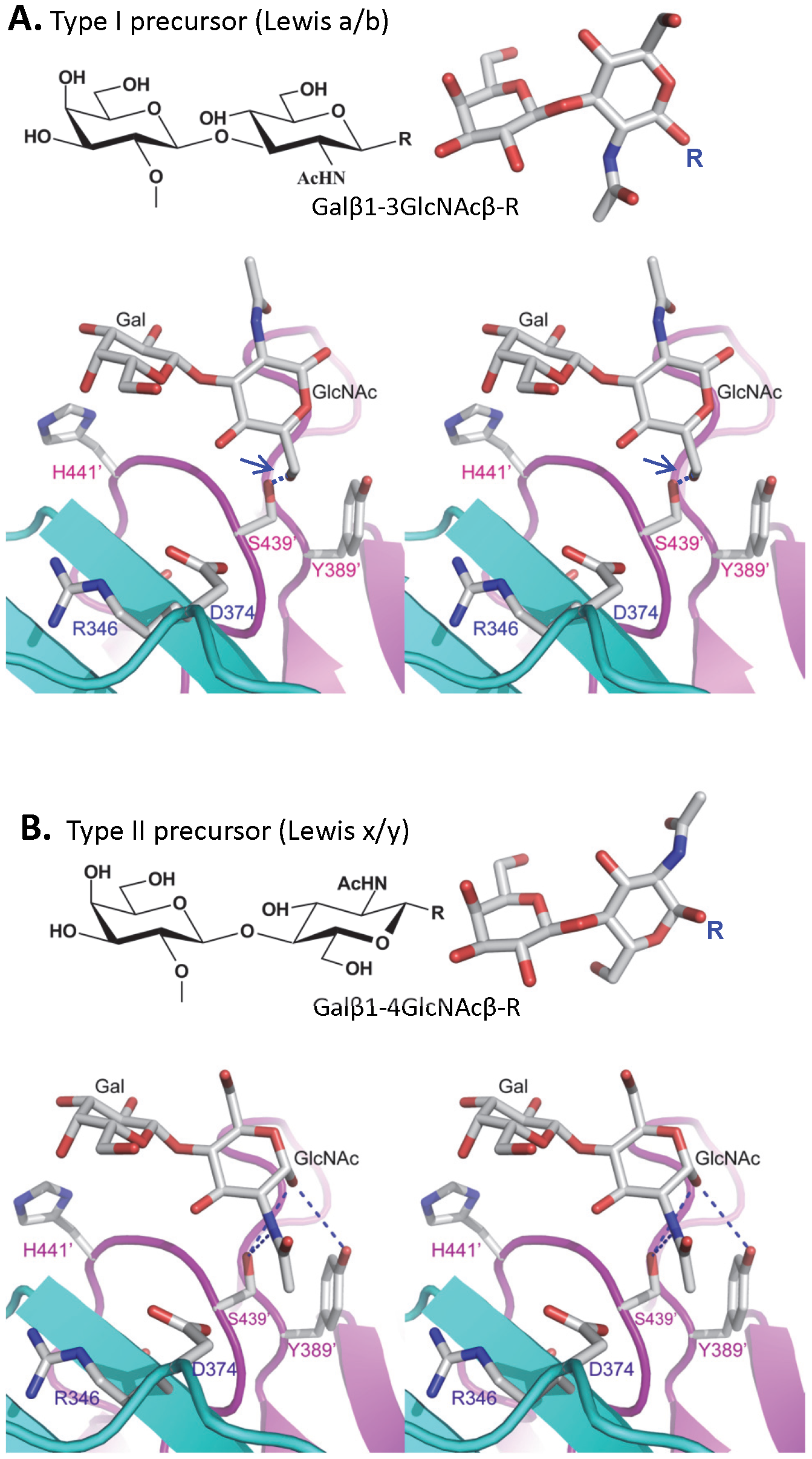 The structures of the type I and type II disaccharide precursors of HBGAs and their possible steric locations interacting with the VA207 P dimer.