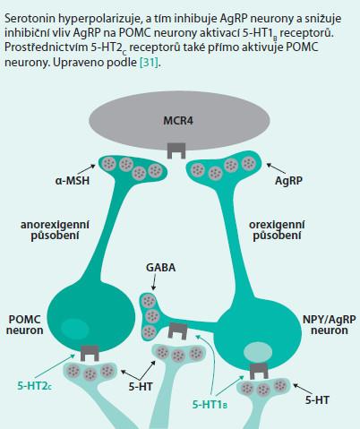 Schéma 10. Působení serotoninu na subpopulacích neuronů v nucleus arcuatus