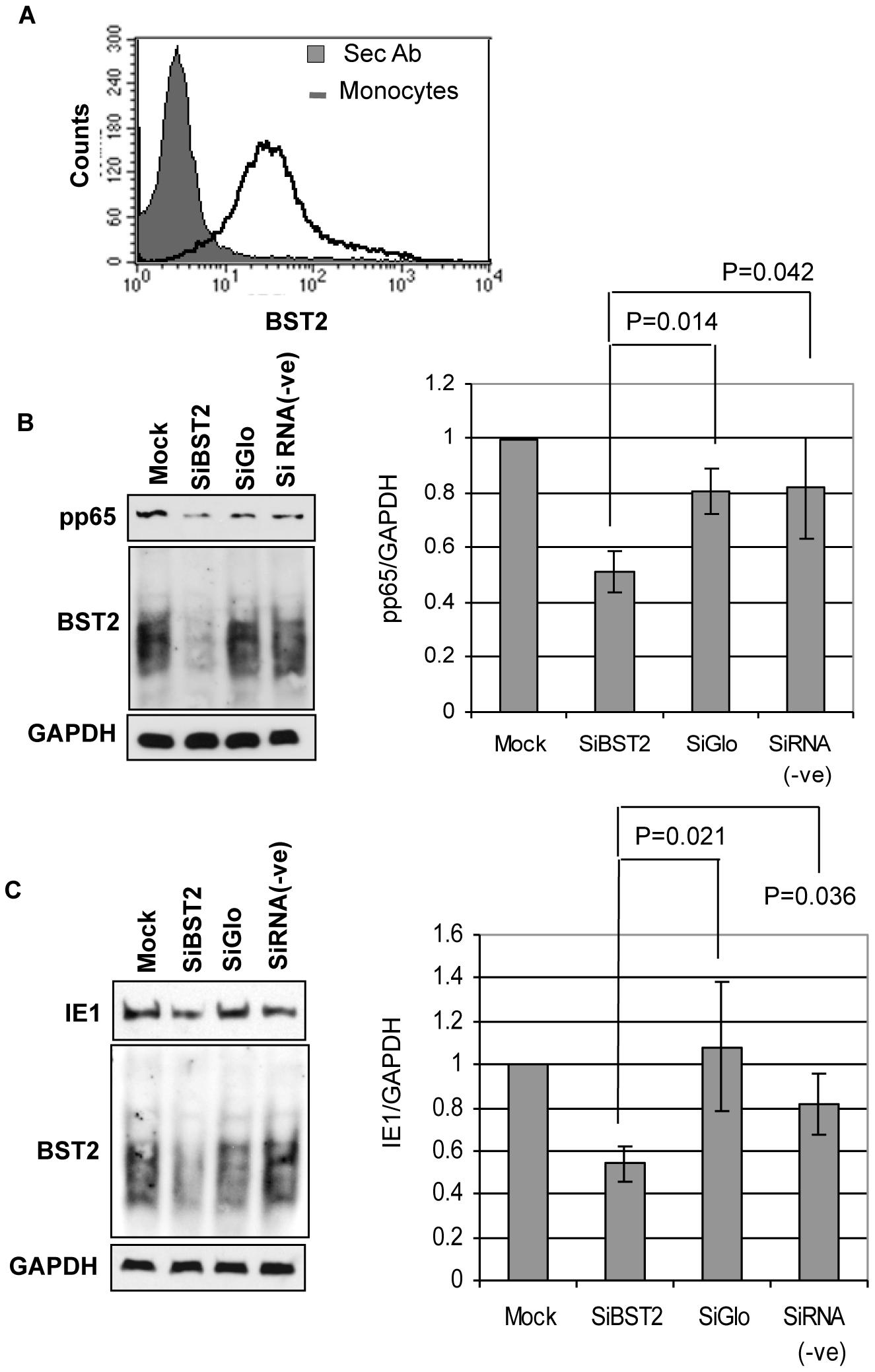 BST2 facilitates HCMV entry into primary human monocytes.