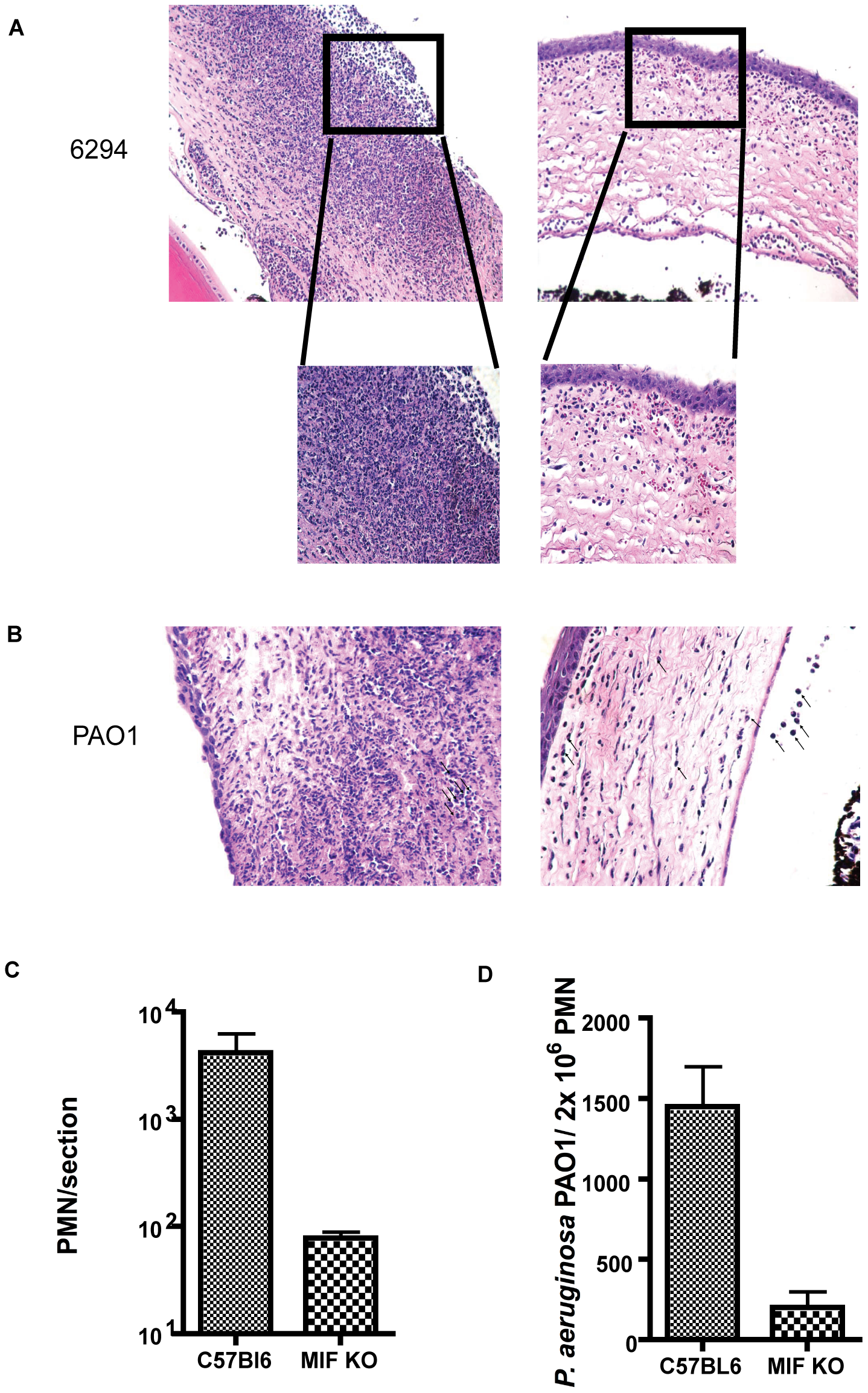 Histological examination of mouse corneas inoculated with <i>P. aeruginosa</i> 6294 or PAO1 at 48 h post-challenge.