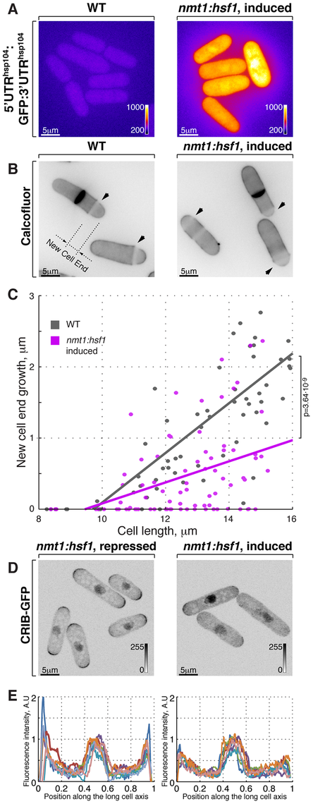 Hsf1-mediated transcription regulates growth patterning in fission yeast.