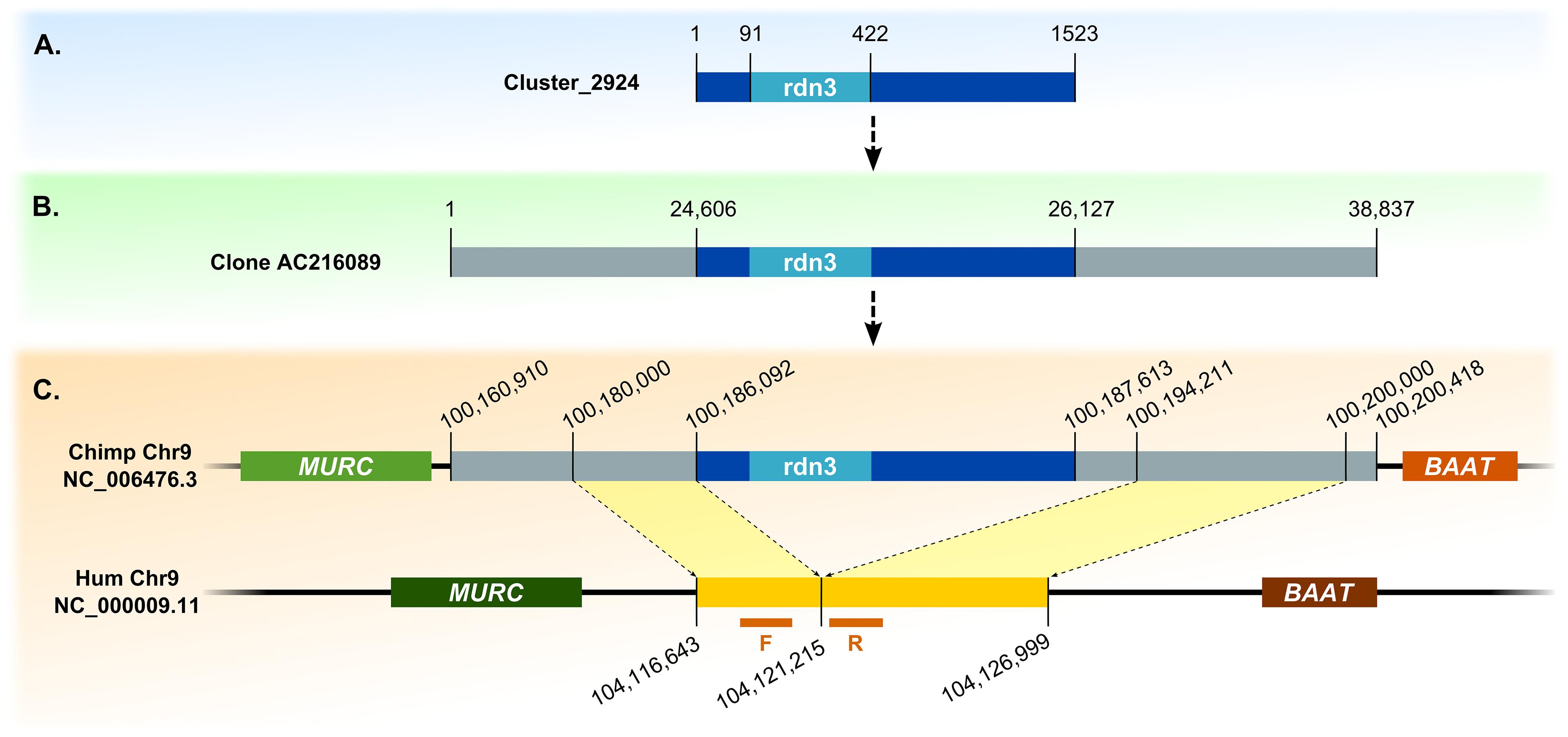 Detection of novel retrocopy deletion sites, example of retrocopy rdn3.