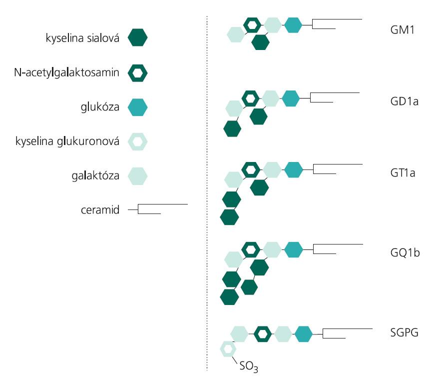 Schéma molekul gangliosidů.