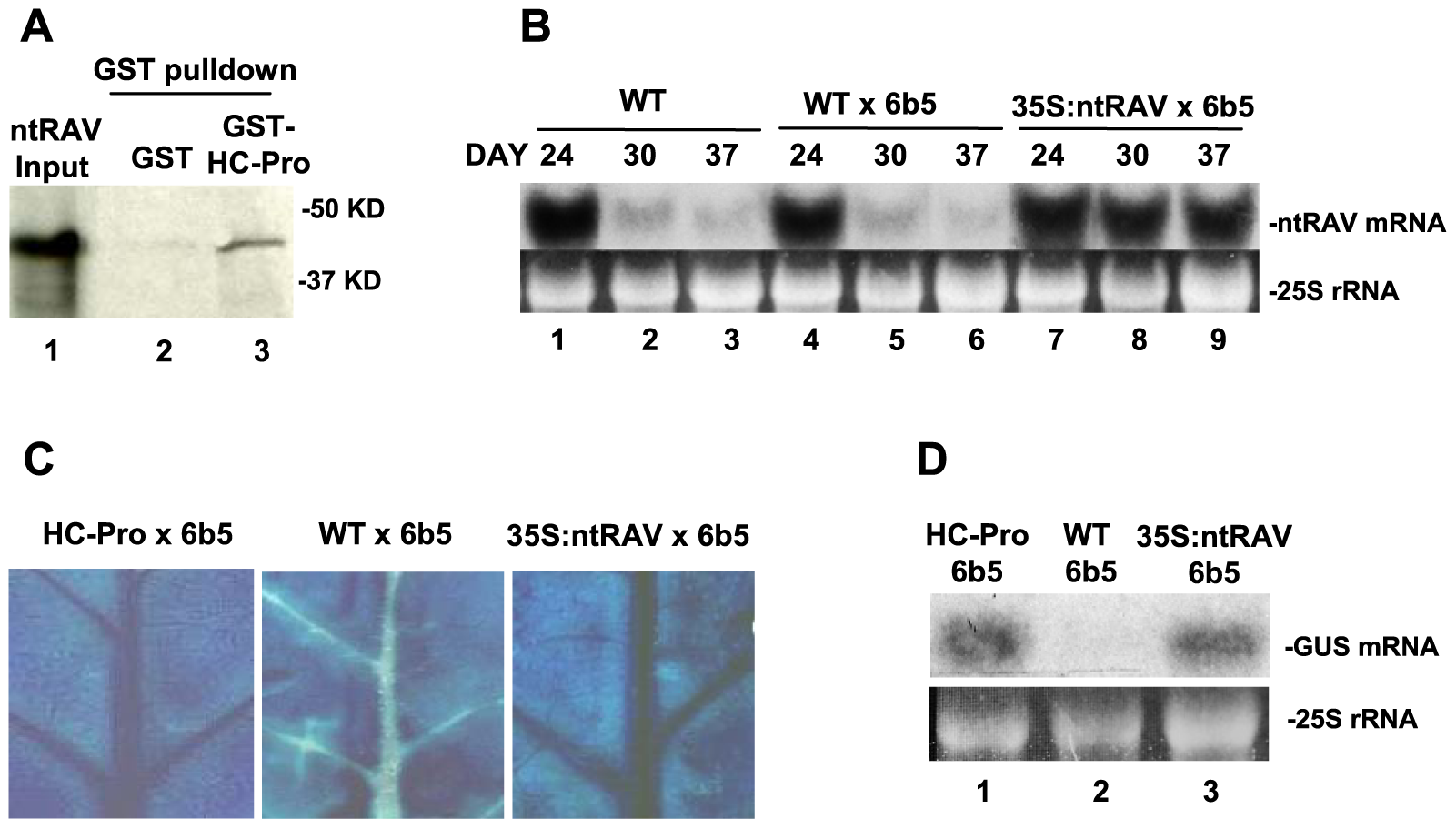 ntRAV Interacts with HC-Pro and Delays the Onset of Sense Transgene Silencing when Over-expressed in Tobacco.