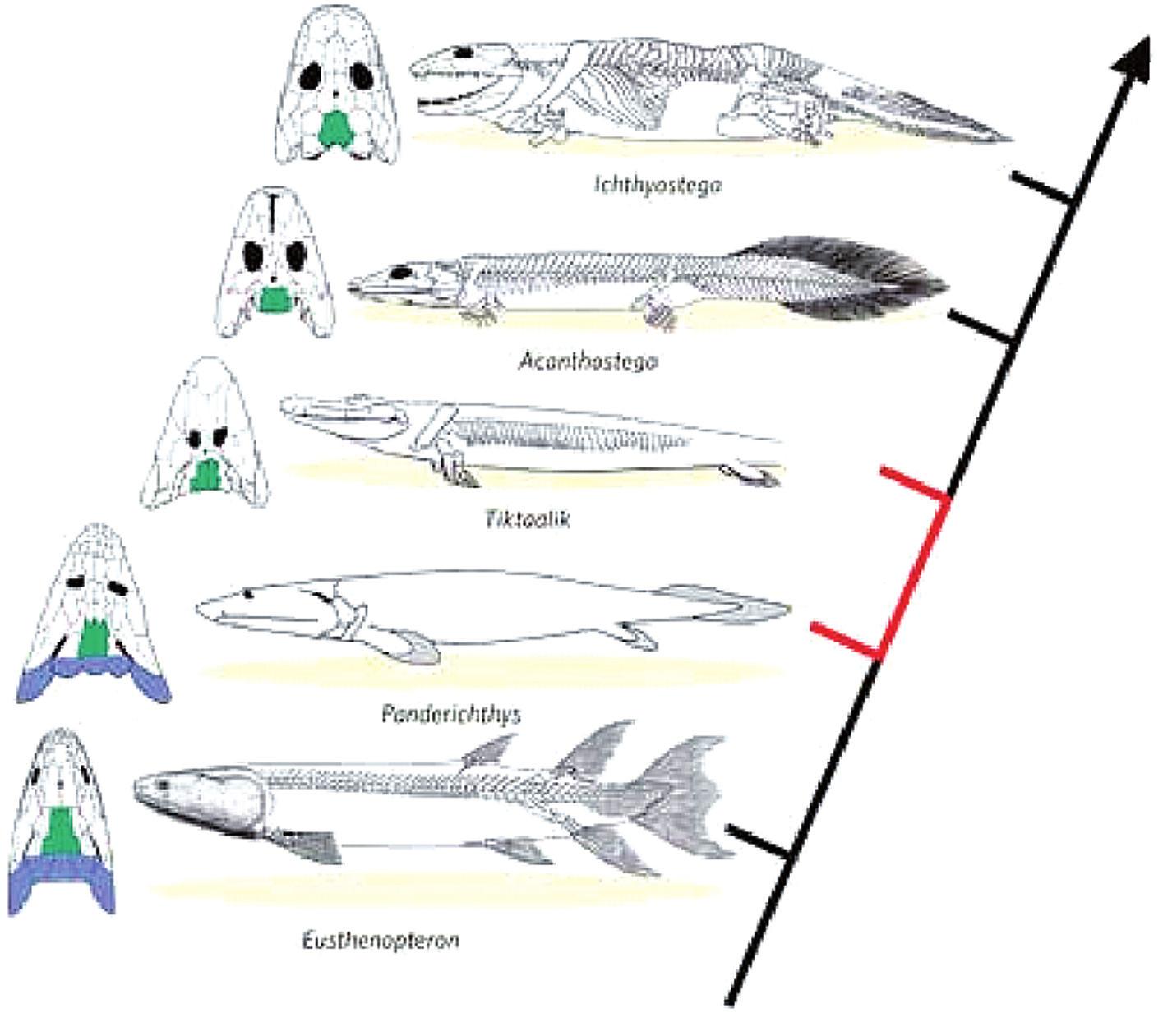 Vývojová řada směřující od ryb k čtvernožcům (Ahlberg a Clack, 2006; Daeschler, 2006; Schubin, 2006)