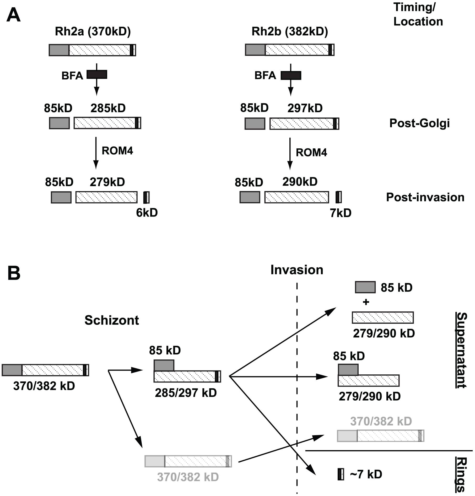 Schematic diagram illustrating post-Golgi and rhomboid processing of PfRh2a/2b proteins.