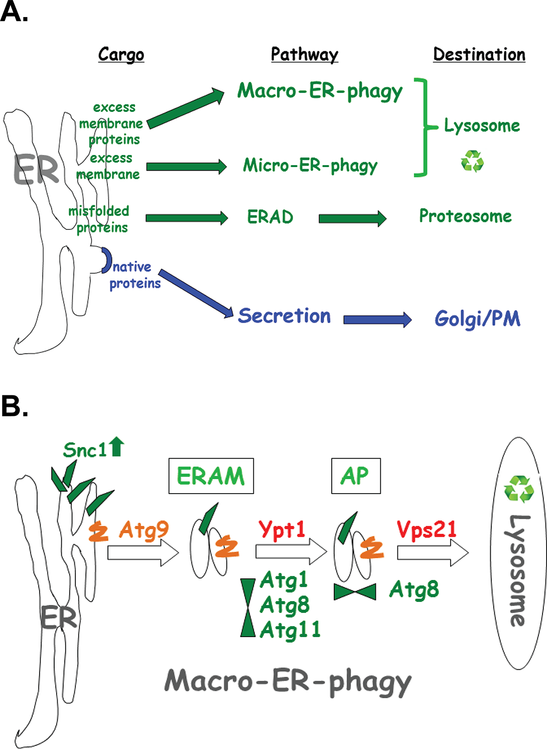 The macro-ER-phagy pathway and ERQC.