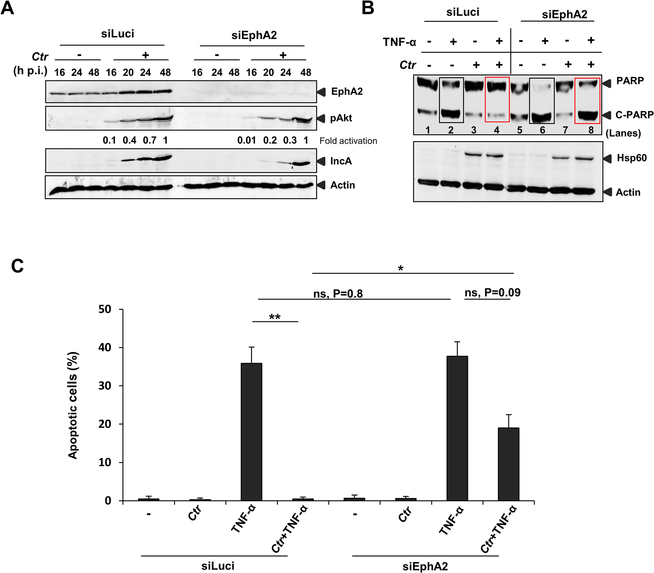 <i>Ctr</i>-infected cells were sensitized to TNF-α induced apoptosis upon EphA2 knockdown.