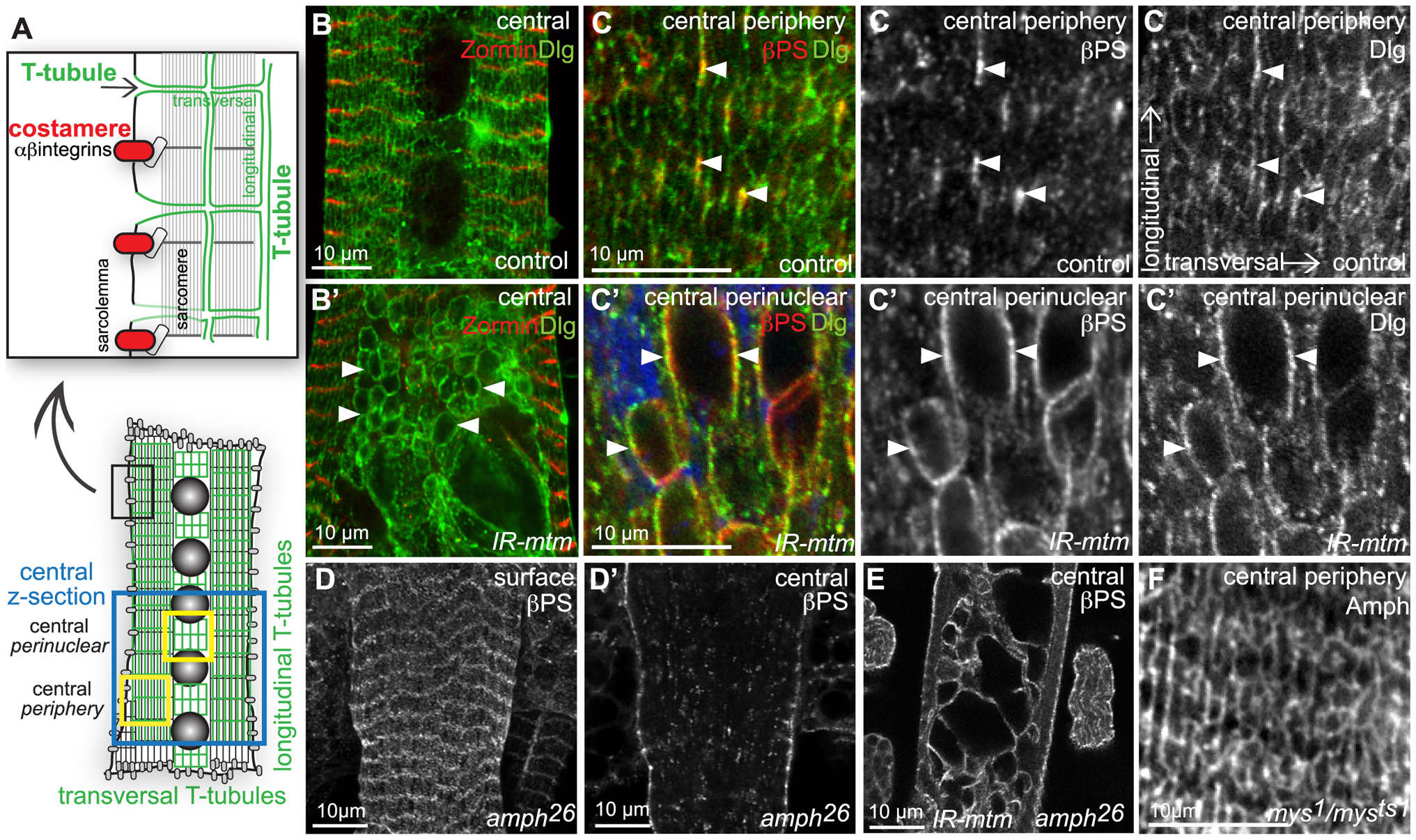 Integrin adhesions are independent of T-tubules, but share an <i>mtm</i> function for maintained organization.