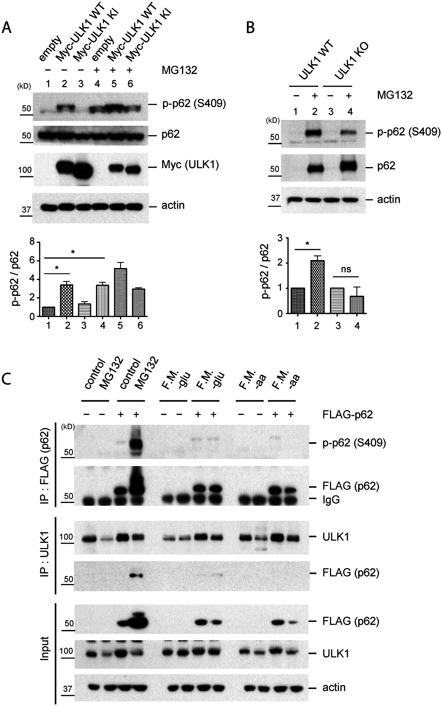 Phosphorylation of p62 at S409 is enhanced upon proteasome inhibition.
