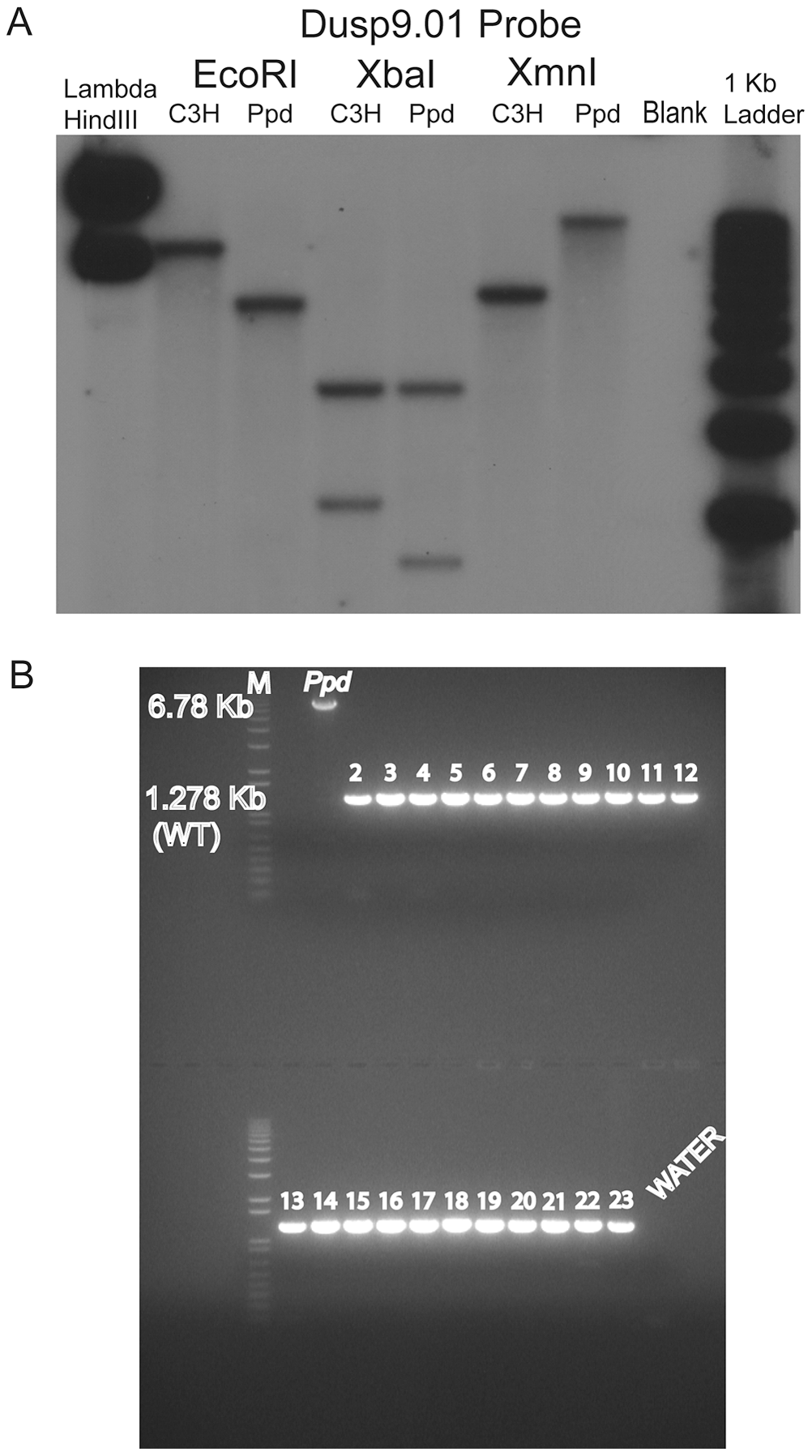 A novel DNA insertion mutation within the <i>Ppd</i> genetic interval.