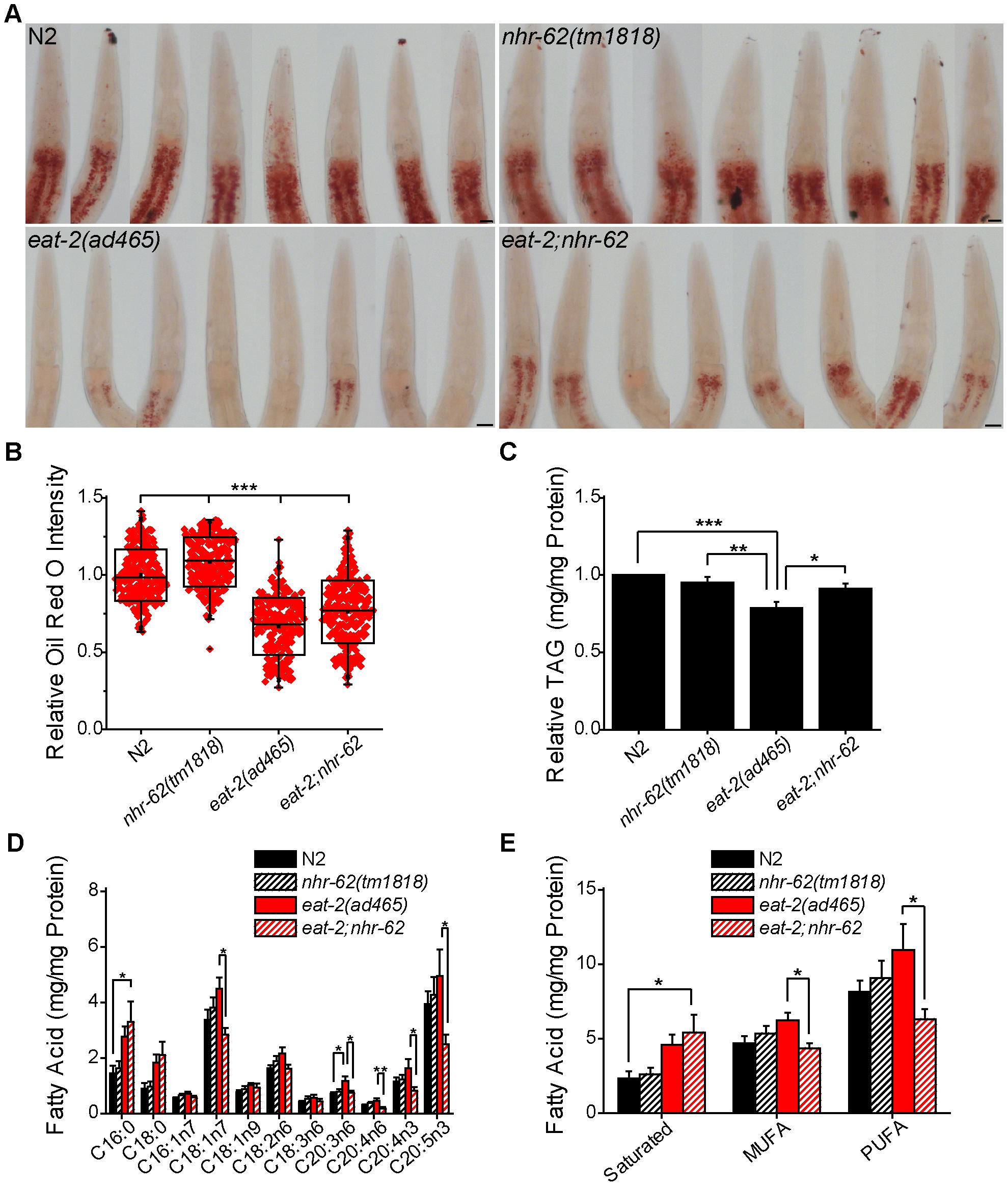 <i>nhr-62</i> modulates DR-induced fat metabolism.