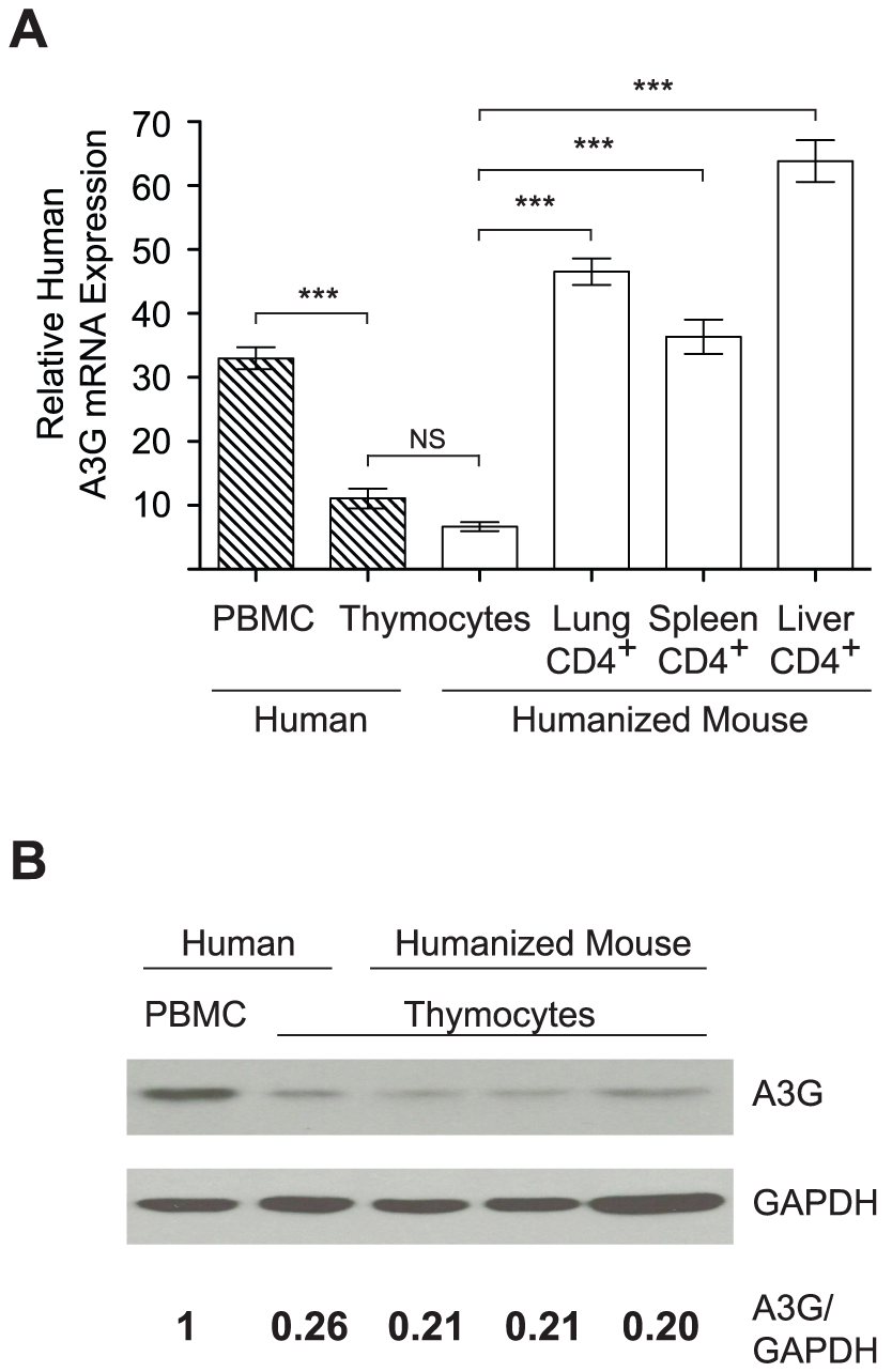APOBEC3G expression is reduced in the thymus.