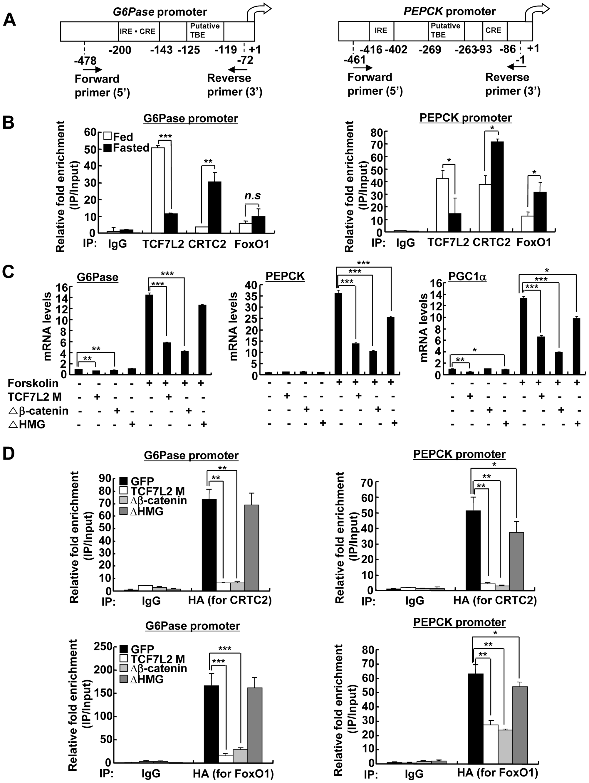 Ectopic expression of TCF7L2 inhibits gluconeogenesis at the transcription level.